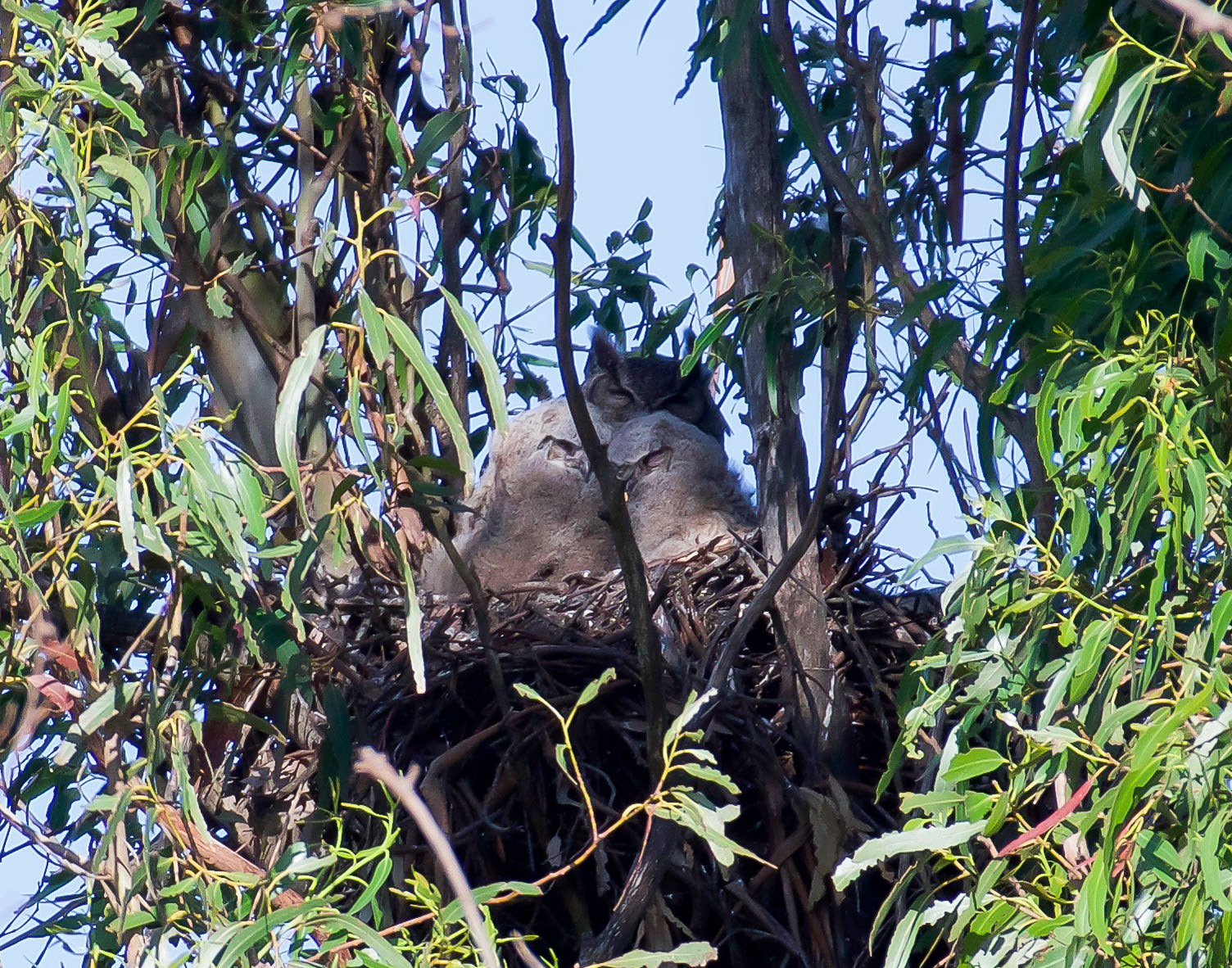 A mother great horned owl in the nest with her two baby owls.