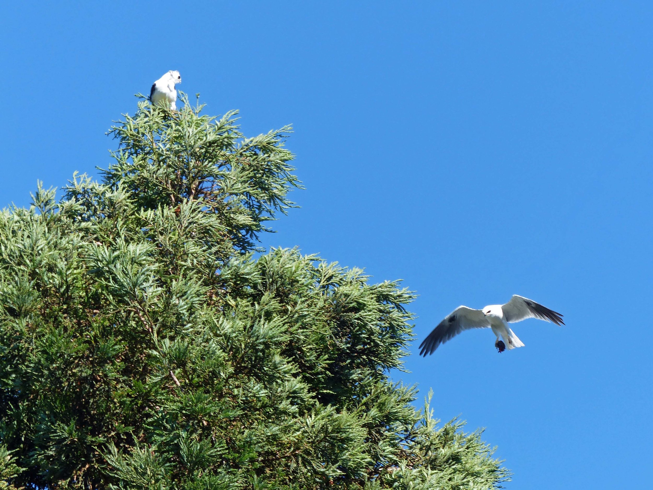 Summer 2018, Pete's front yard neighbors. This beautiful pair of White-tailed Kites built their nest in some redwood trees in front of his house and kept everyone busy all summer as they raised their young. Bringing home the bacon for the family.
