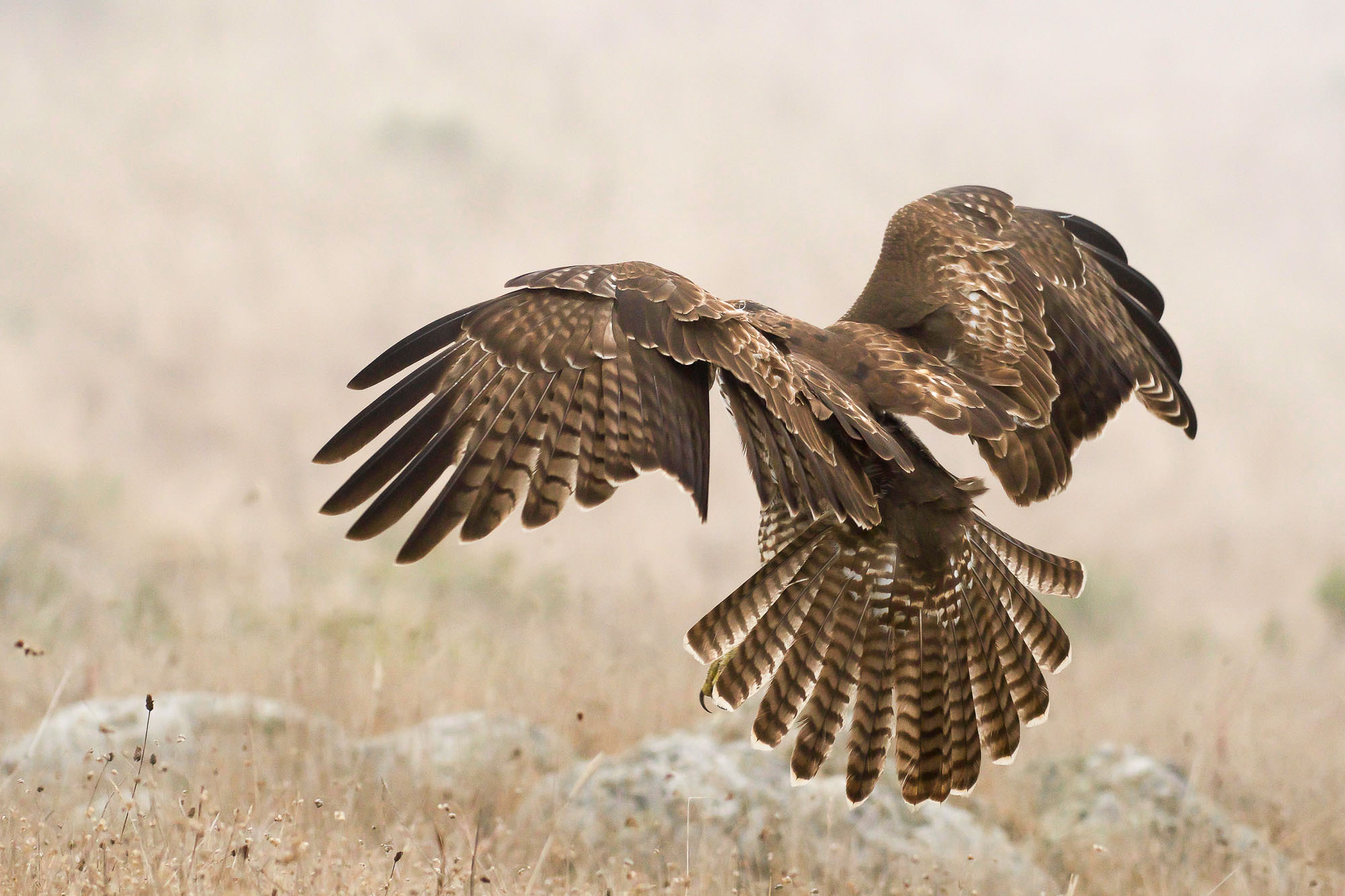 red-tailed hawk - in the fog-1.jpg