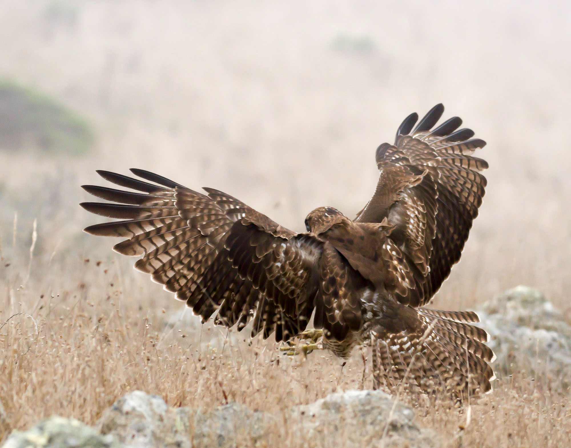 red-tailed hawk - in the fog-2.jpg