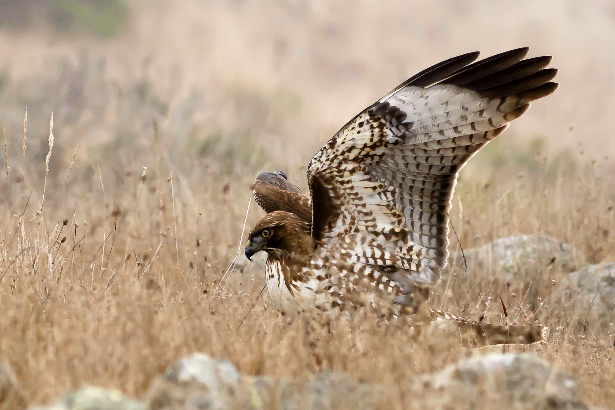 red-tailed hawk - in the fog-4.jpg