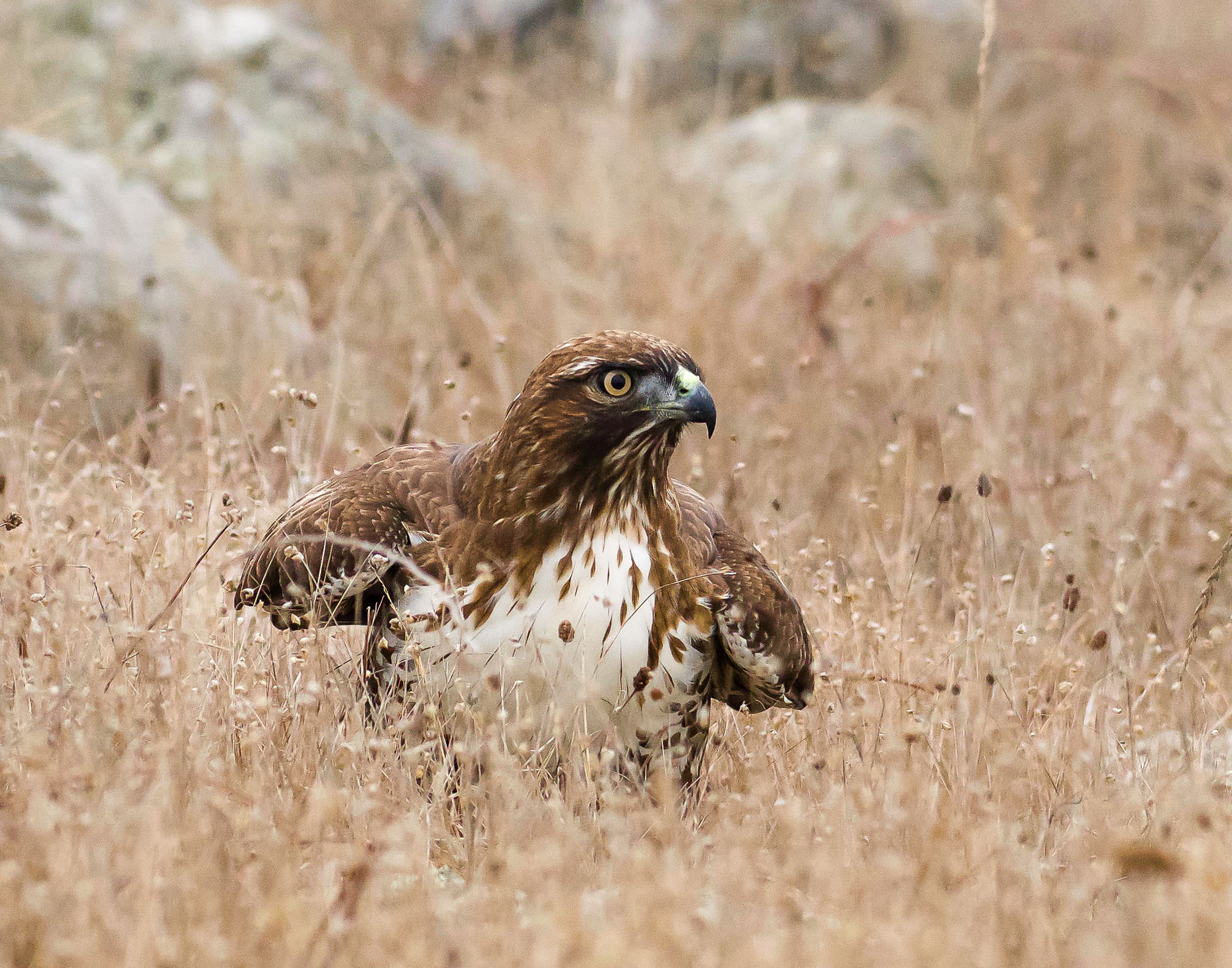red-tailed hawk - in the fog-5.jpg