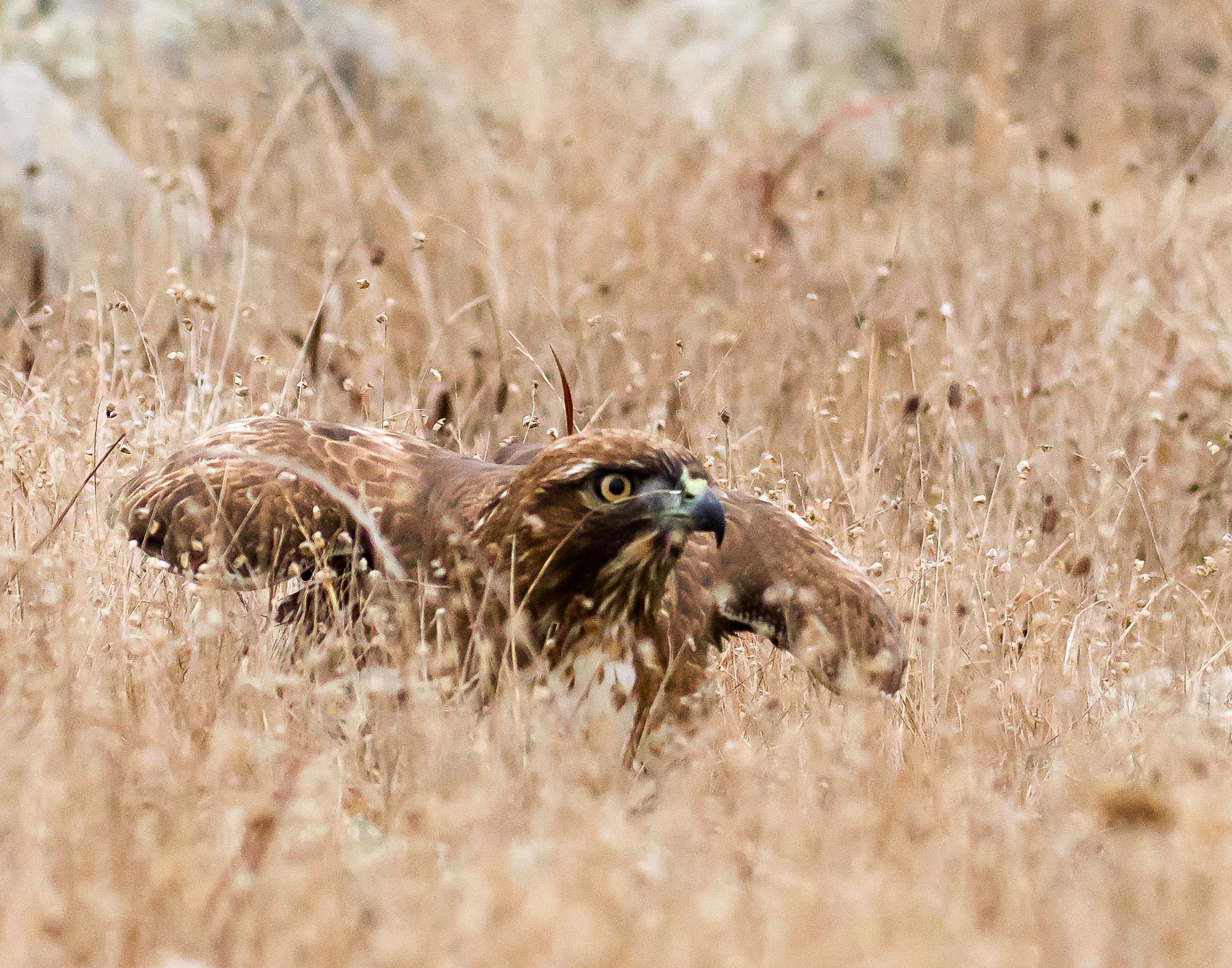red-tailed hawk - in the fog-6.jpg