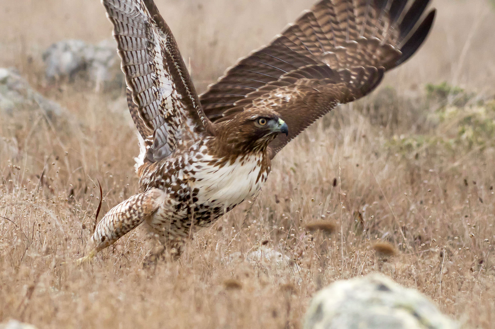 red-tailed hawk - in the fog-7.jpg