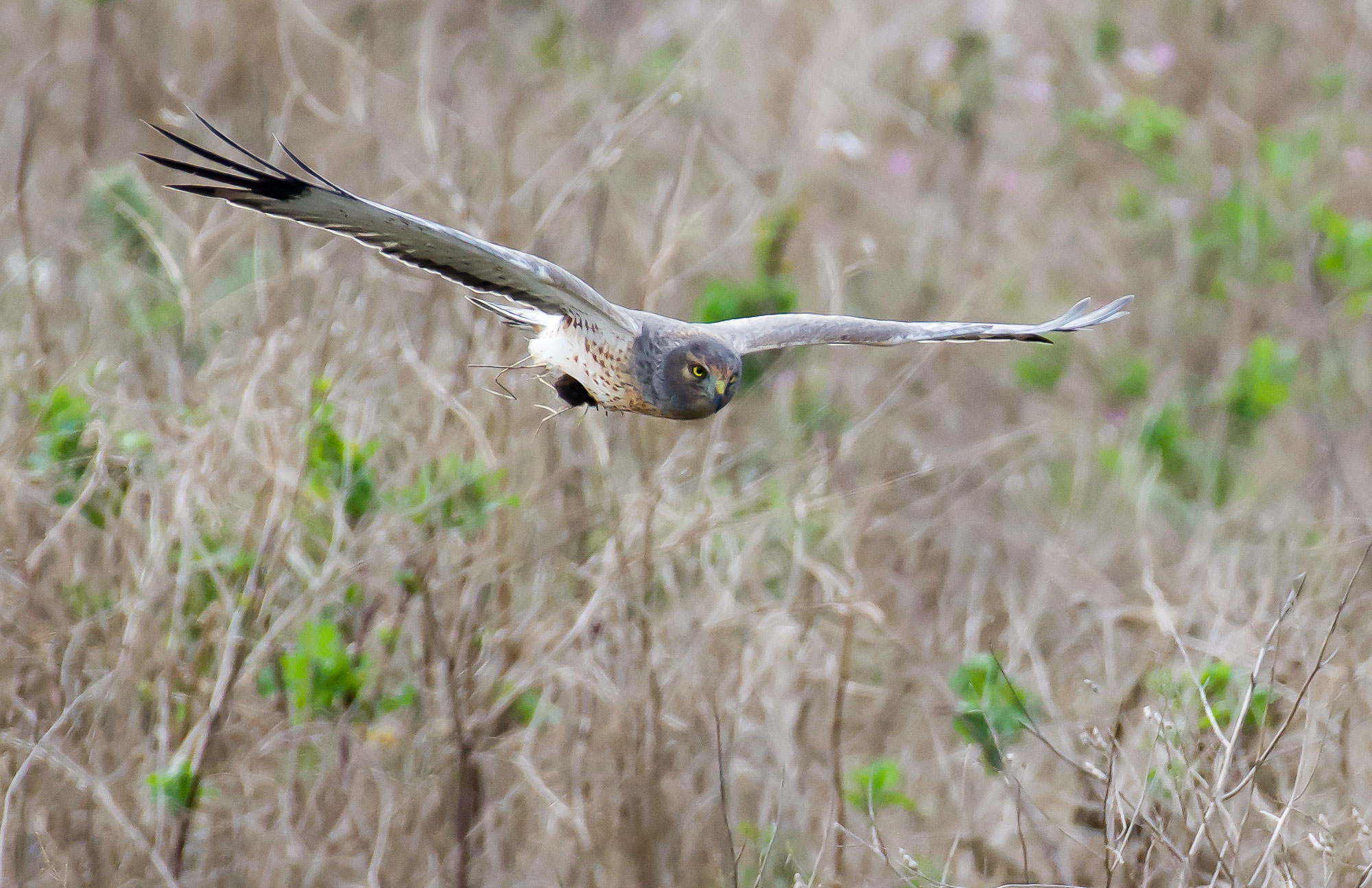 harrier-flying-with-vole-1.jpg