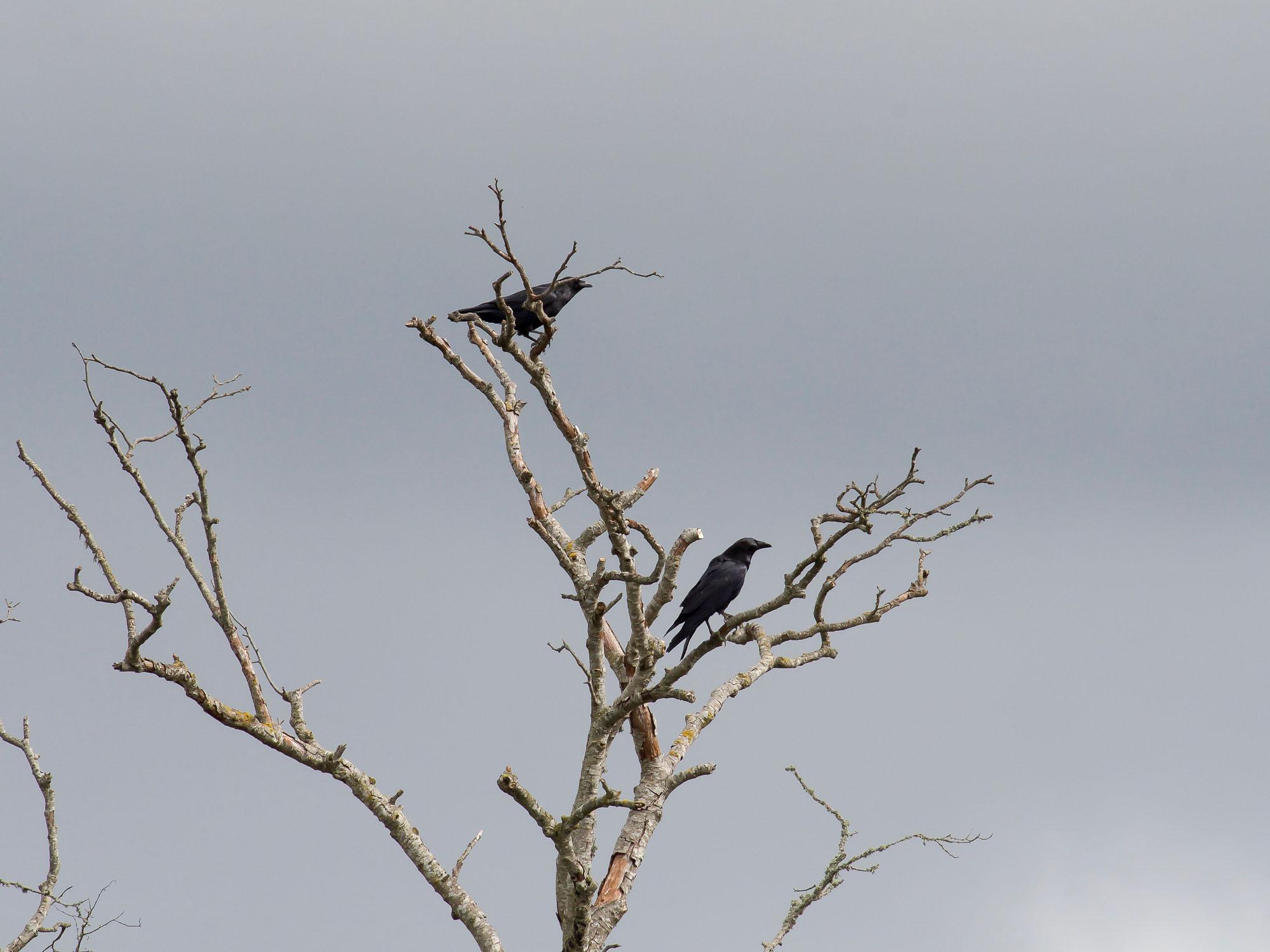 crows-bothering-owls-4.jpg