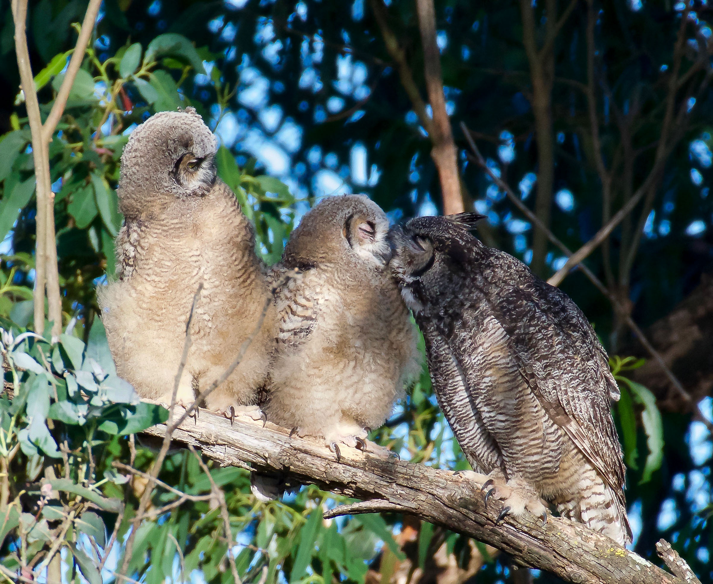 mother-great-horned-owl-grooming-owlets-1.jpg