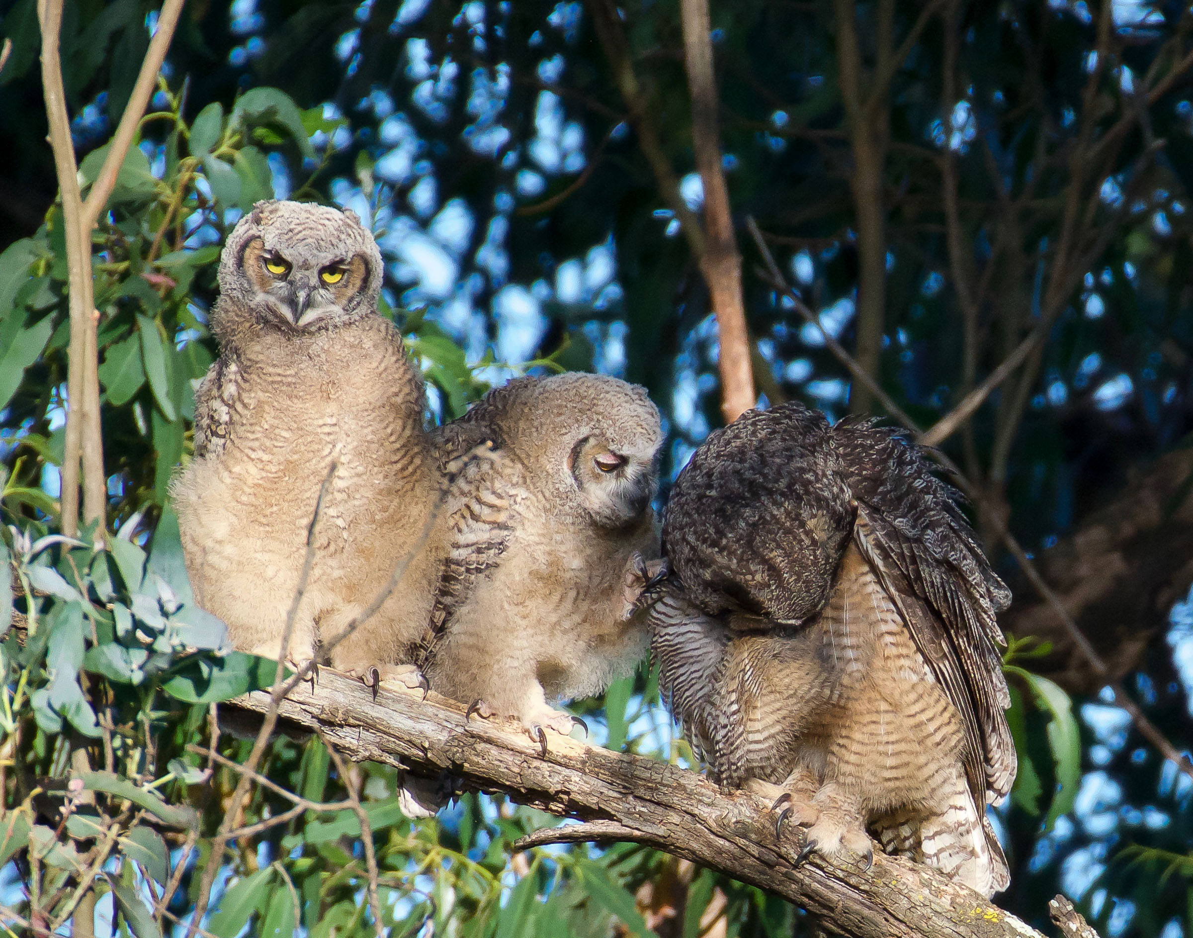 mother-great-horned-owl-grooming-owlets-2.jpg