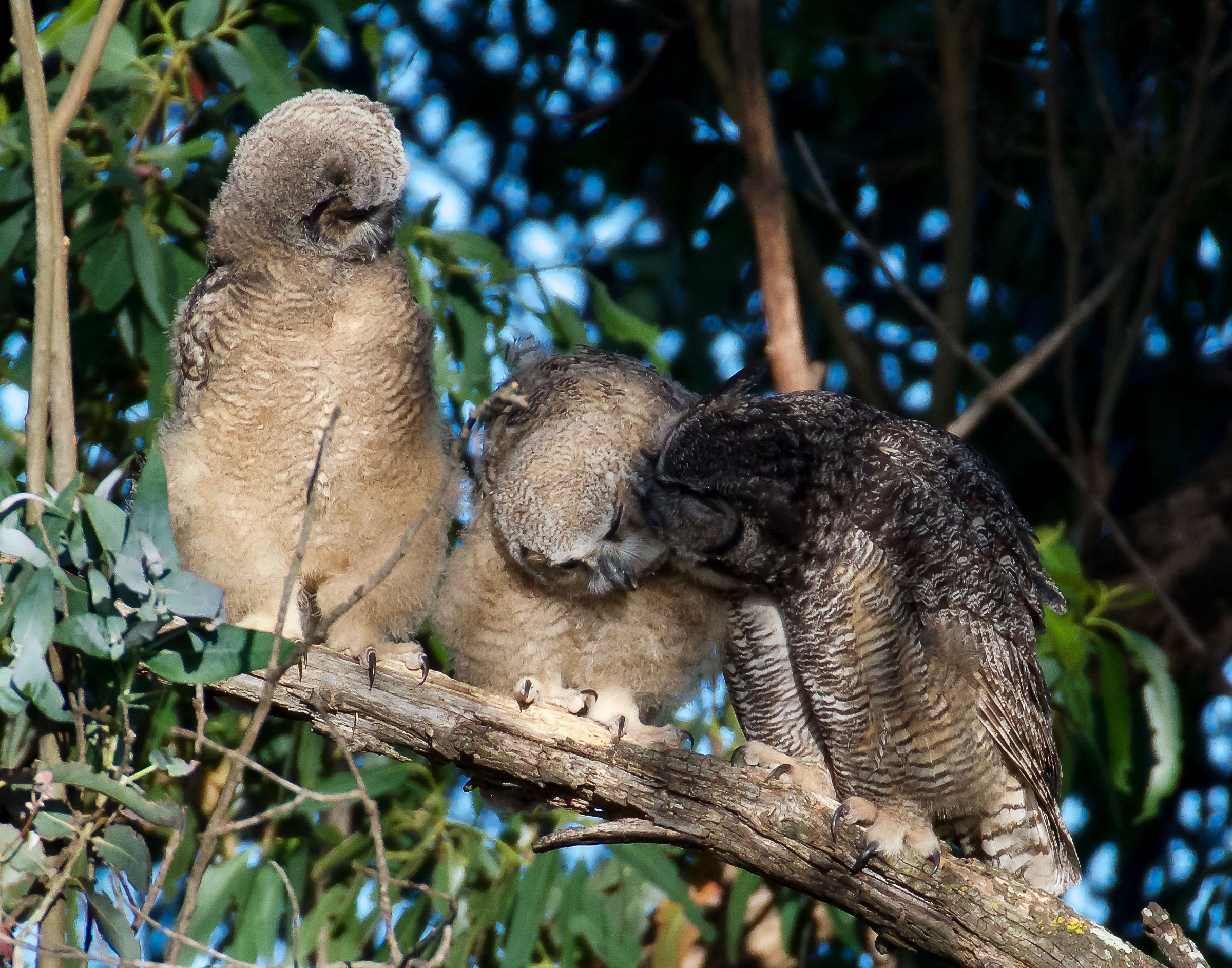 mother-great-horned-owl-grooming-owlets-5.jpg