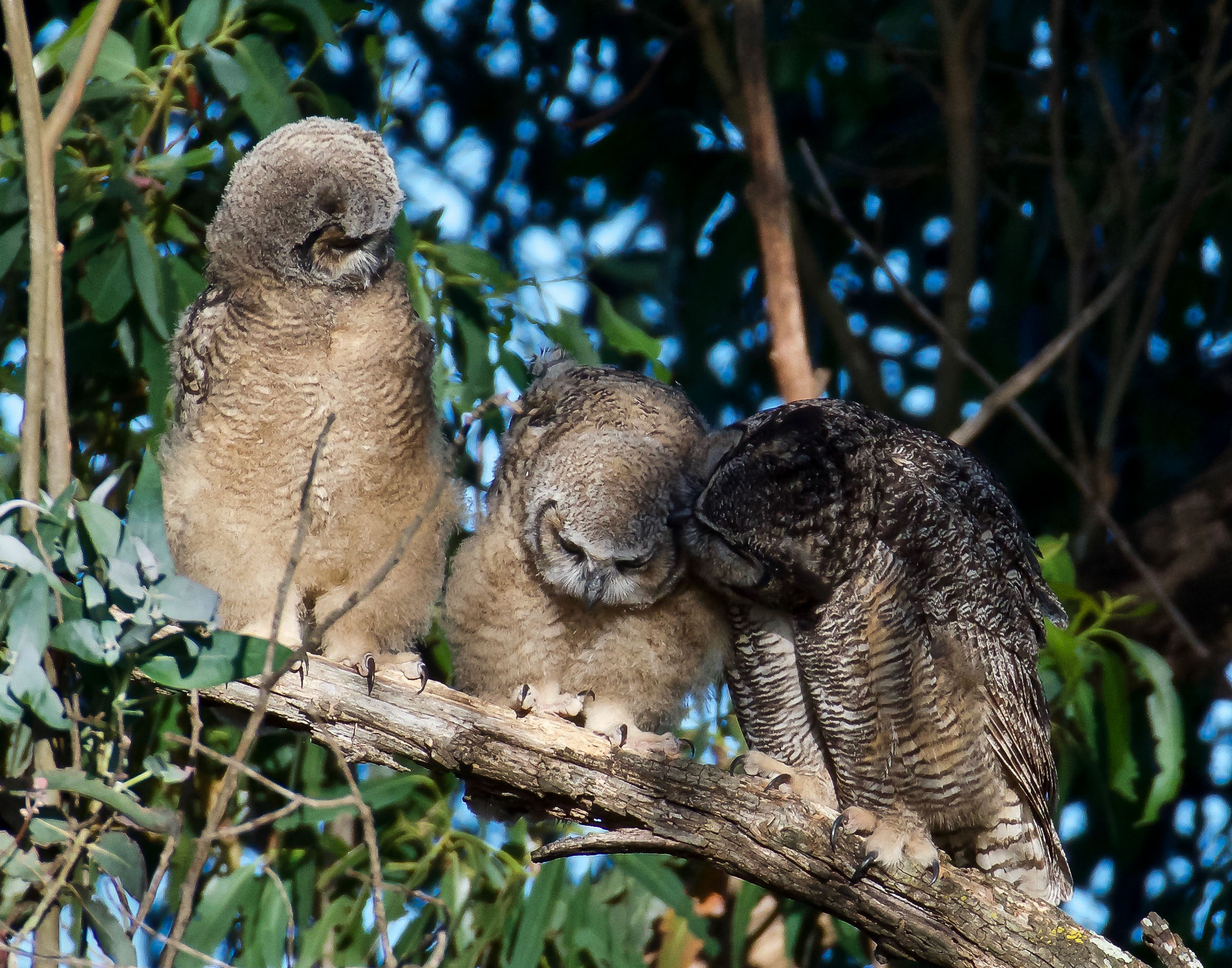 mother-great-horned-owl-grooming-owlets-6.jpg