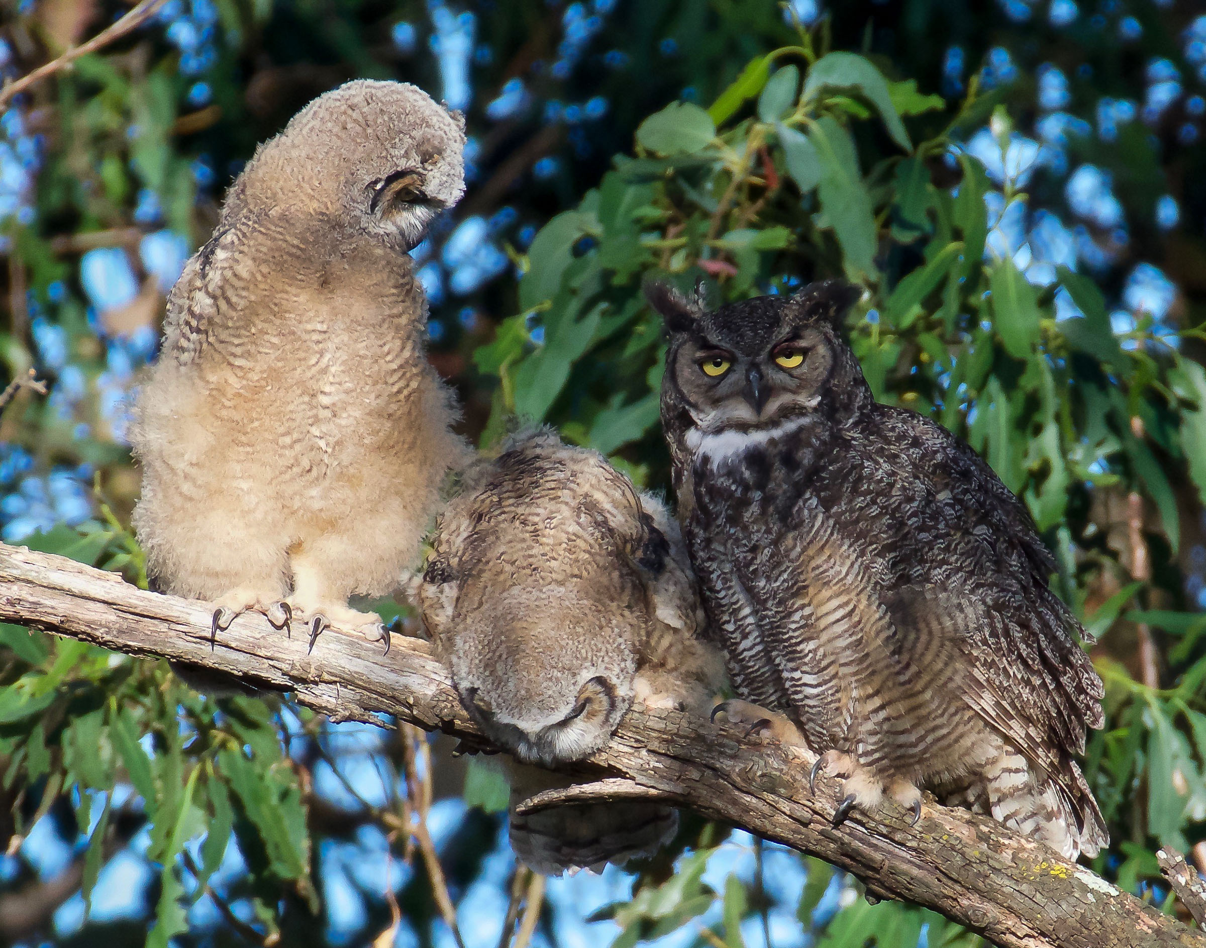 mother-great-horned-owl-grooming-owlets-7.jpg