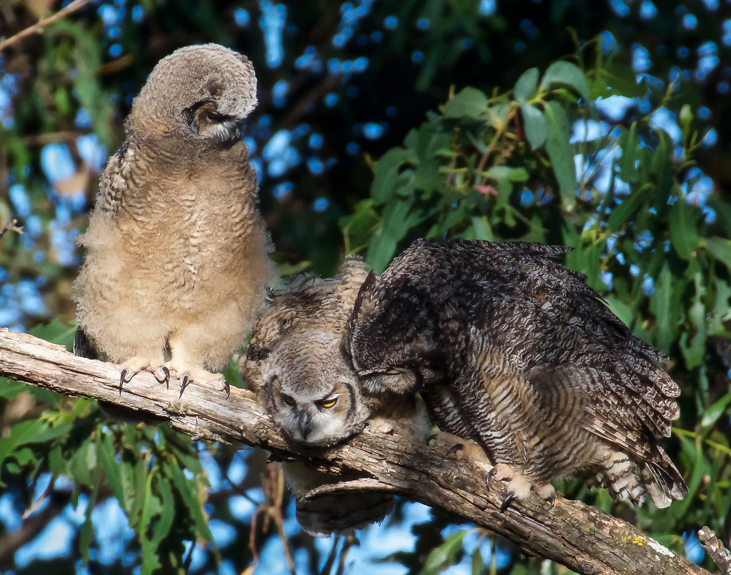 mother-great-horned-owl-grooming-owlets-8.jpg