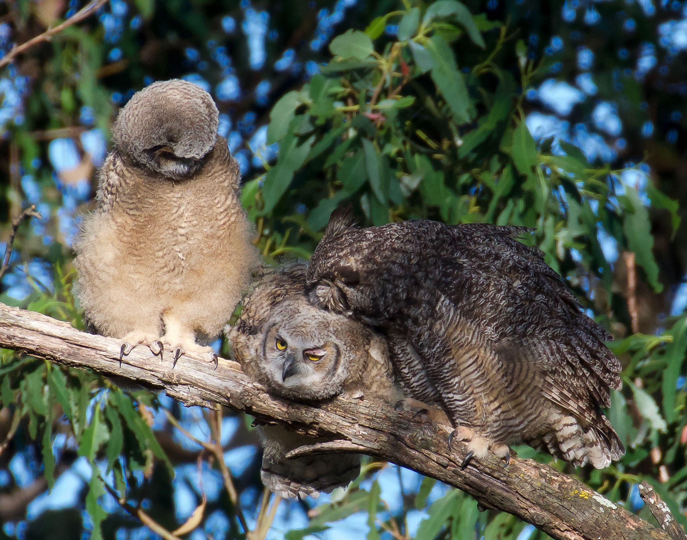 mother-great-horned-owl-grooming-owlets-9.jpg