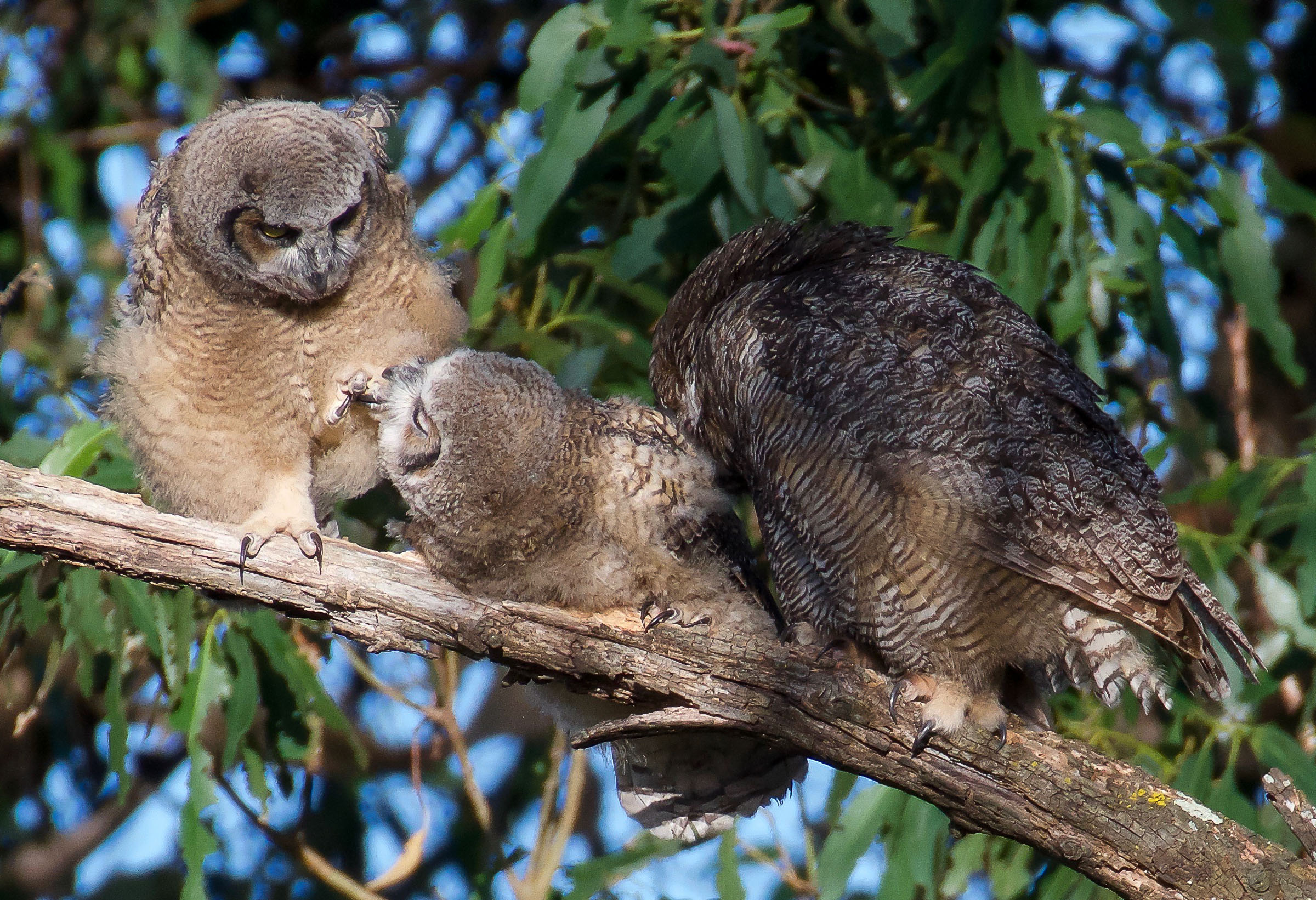 mother-great-horned-owl-grooming-owlets-11.jpg