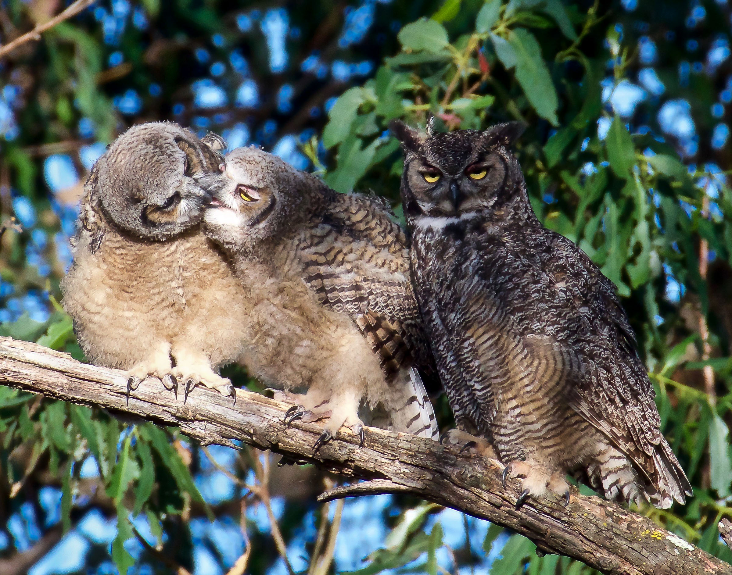 mother-great-horned-owl-grooming-owlets-12.jpg
