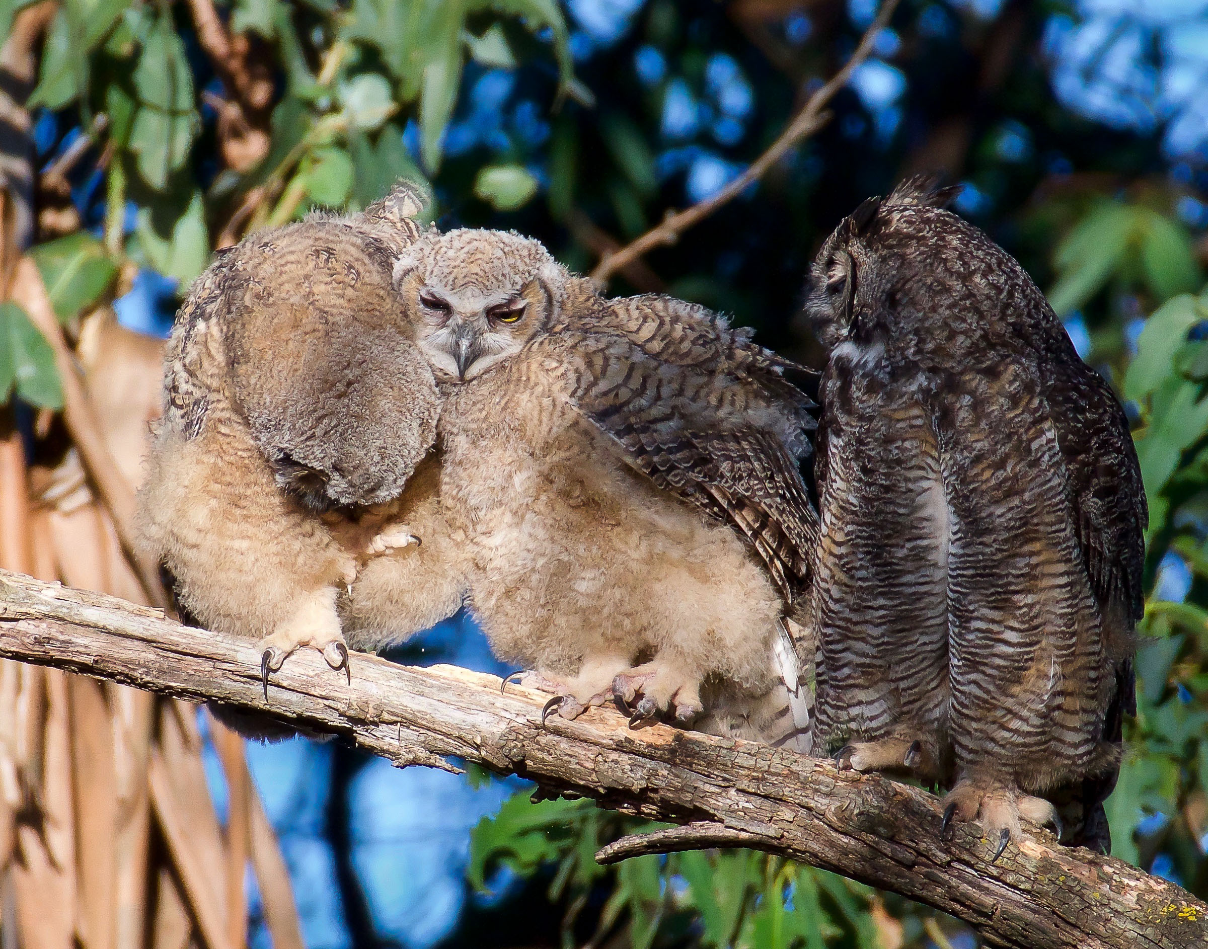 mother-great-horned-owl-grooming-owlets-13.jpg