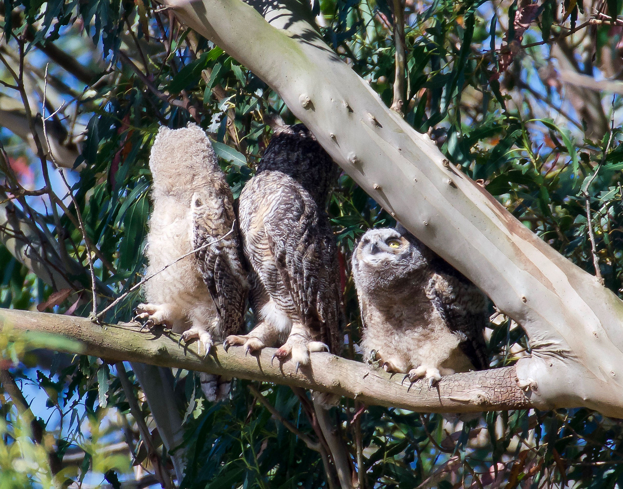 mother-great-horned-owl-owlet-climbing-1.jpg