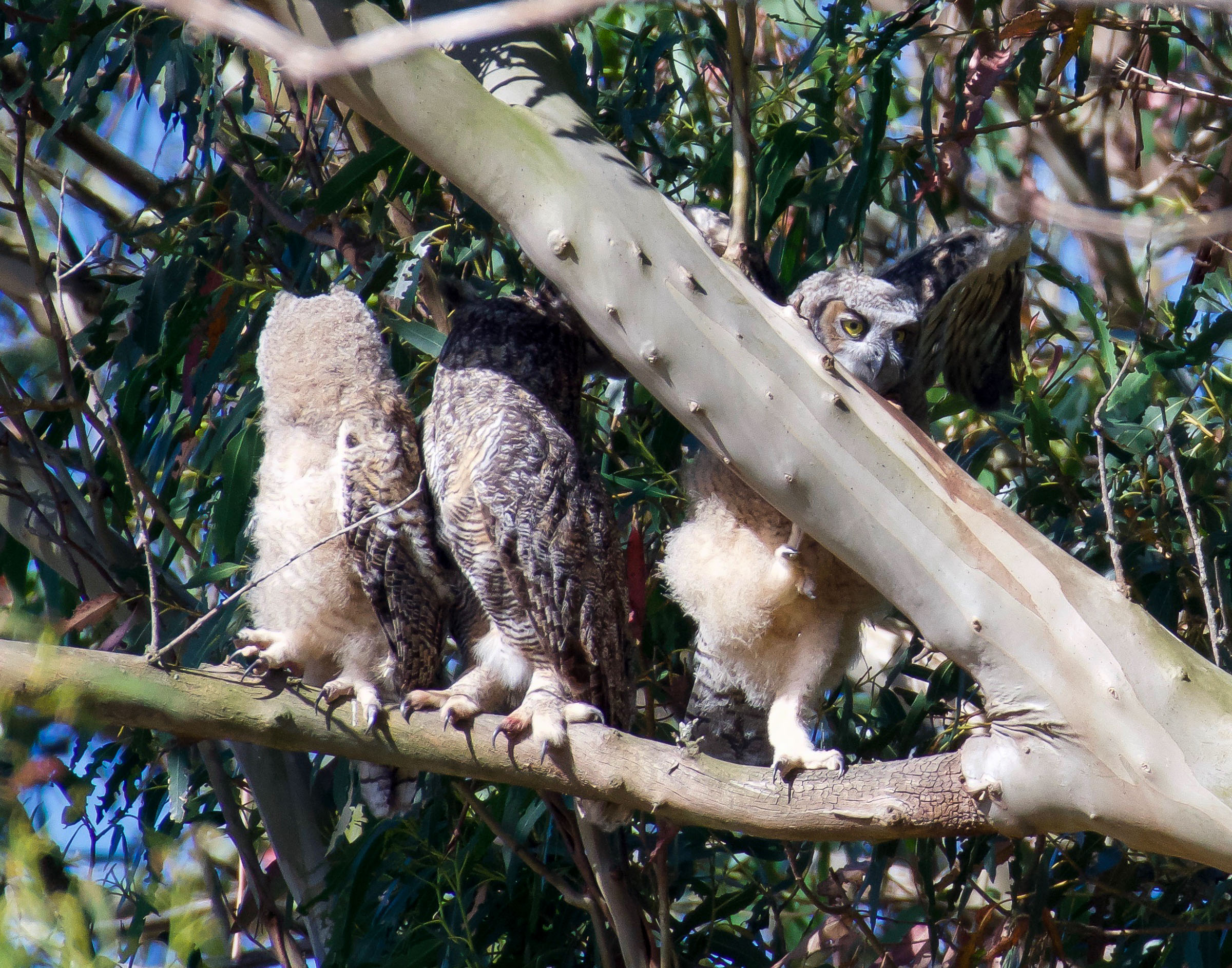 mother-great-horned-owl-owlet-climbing-3.jpg