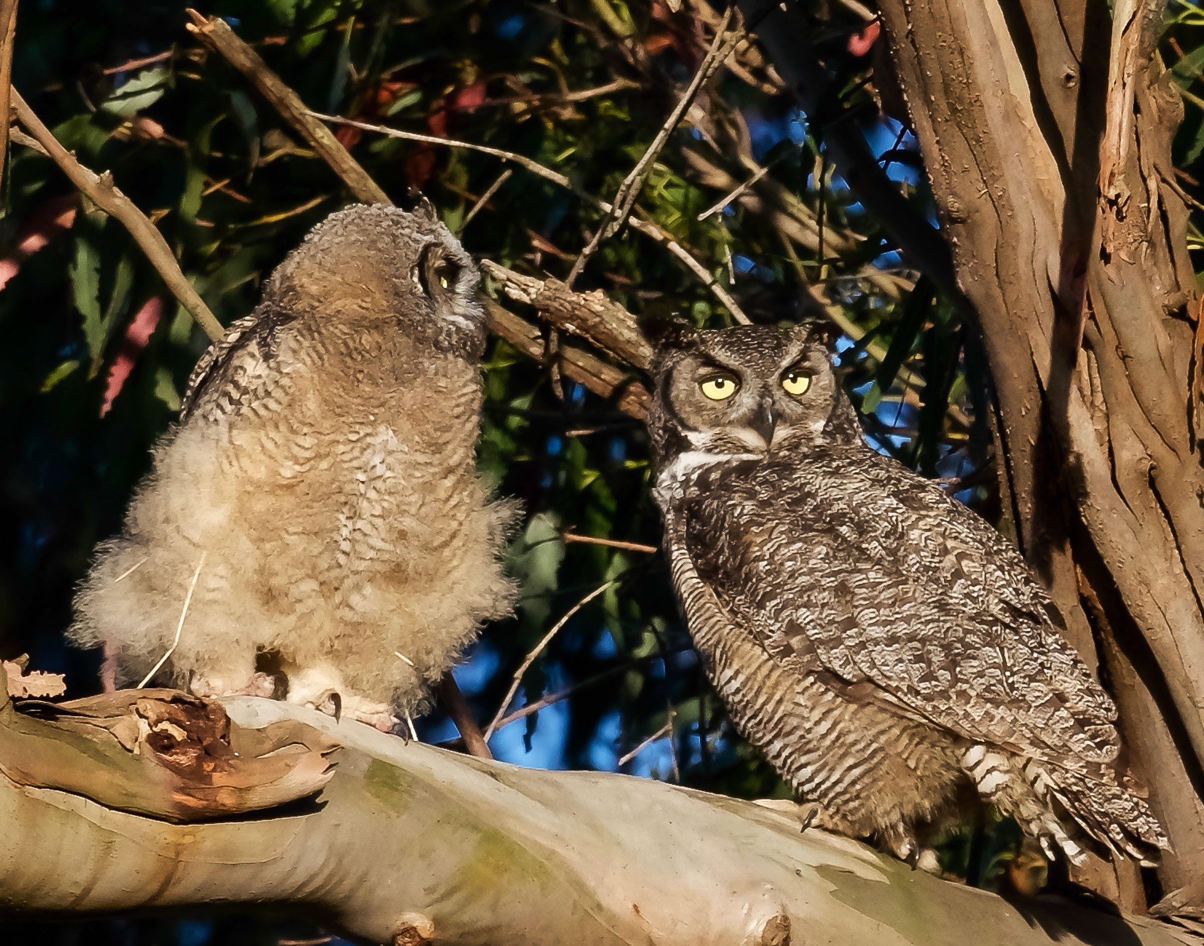 mother-owl-and-owlet-on-branch-grooming-1.jpg