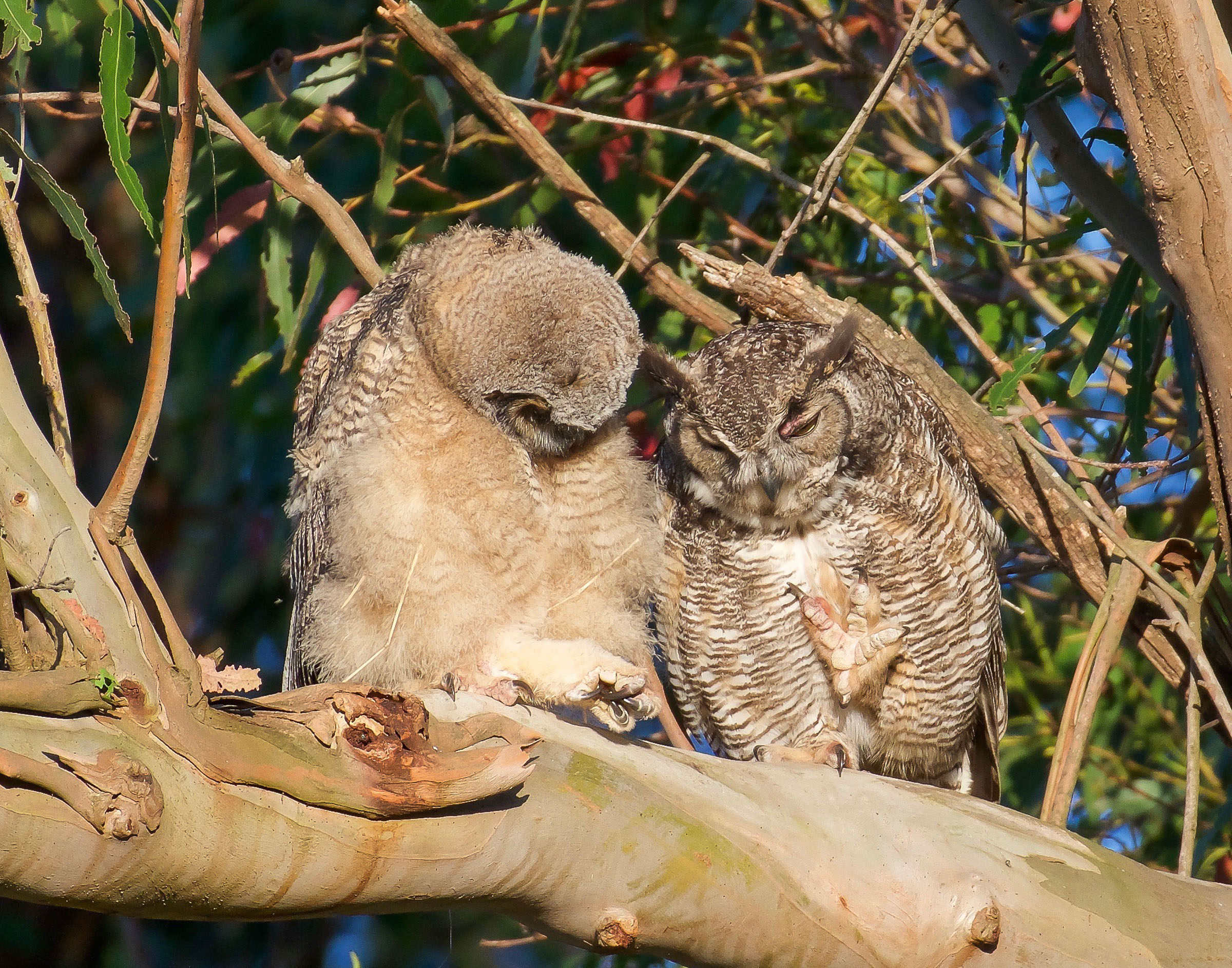 mother-owl-and-owlet-on-branch-grooming-3.jpg