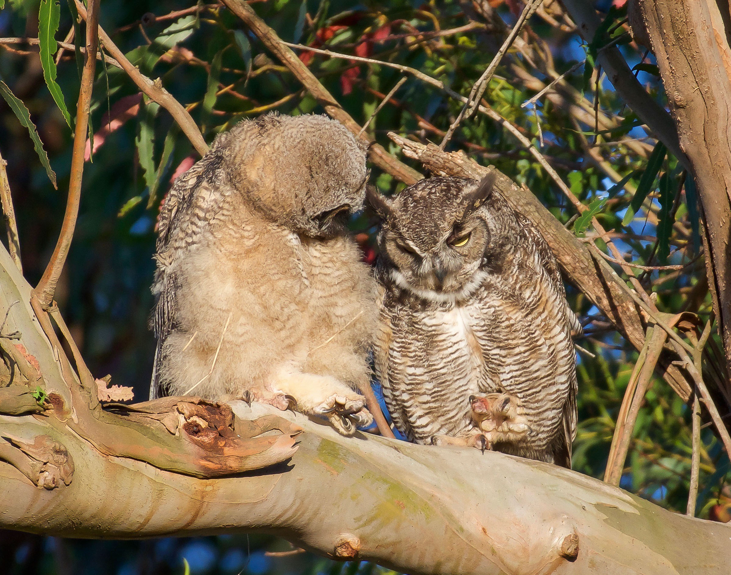 mother-owl-and-owlet-on-branch-grooming-4.jpg