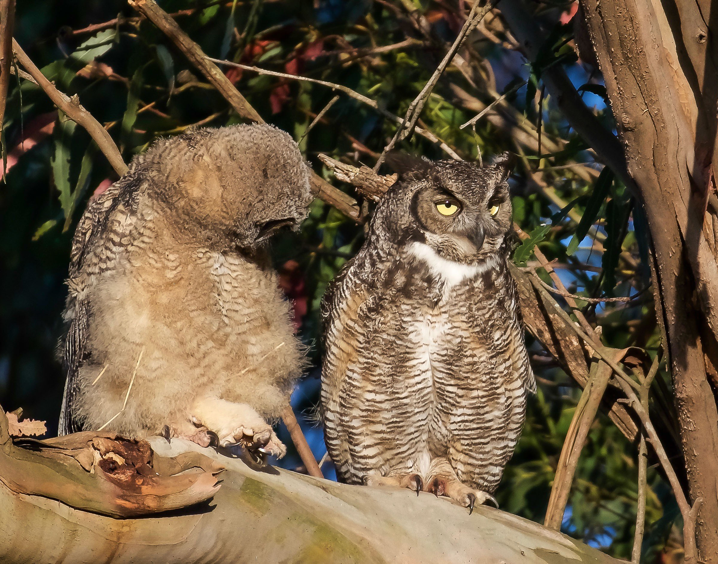 mother-owl-and-owlet-on-branch-grooming-5.jpg