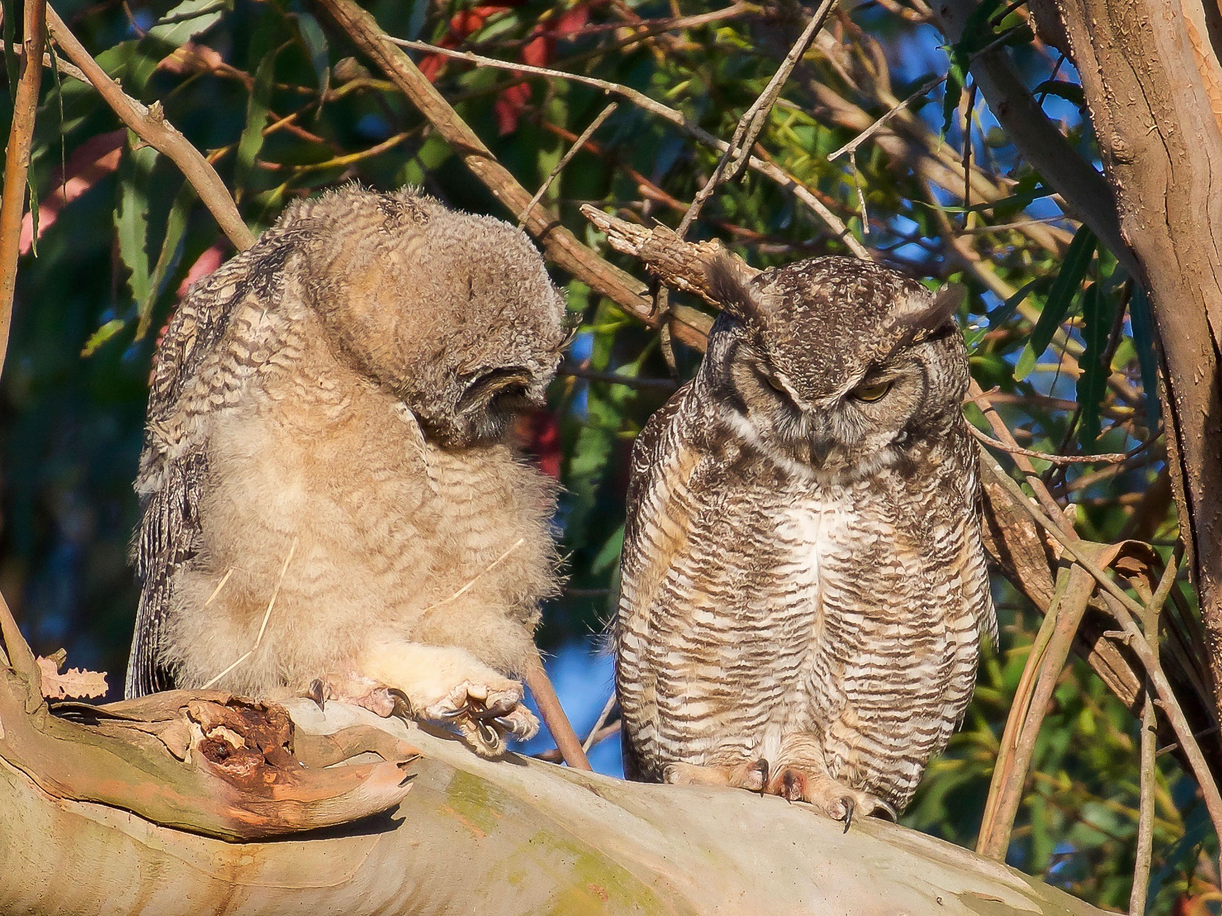 mother-owl-and-owlet-on-branch-grooming-6.jpg