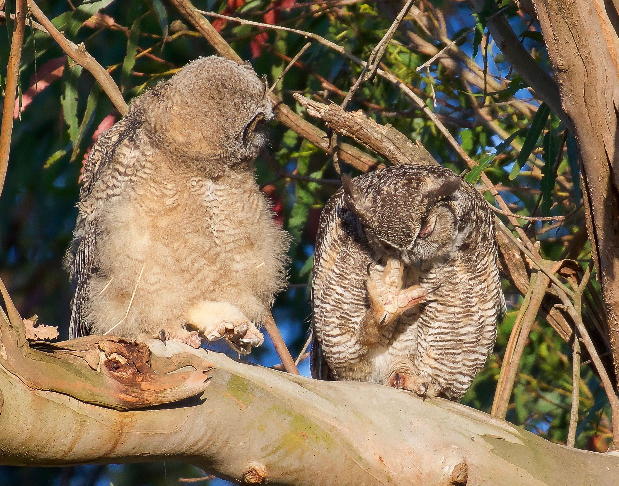 mother-owl-and-owlet-on-branch-grooming-7.jpg