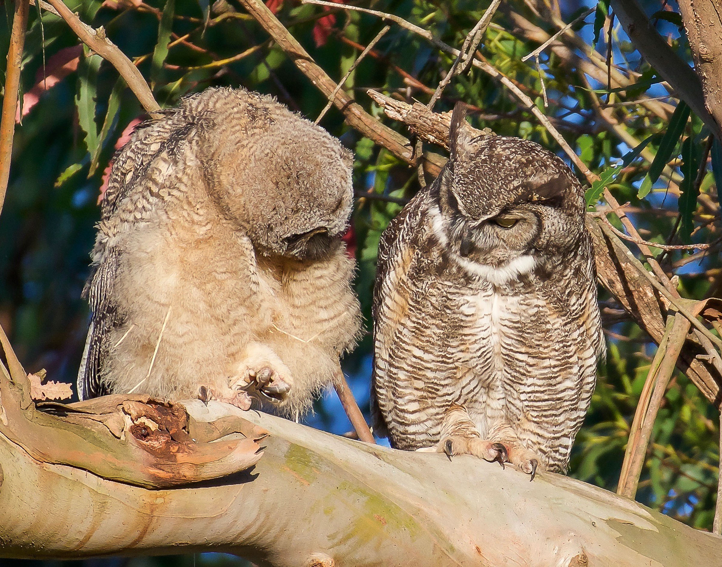 mother-owl-and-owlet-on-branch-grooming-8.jpg