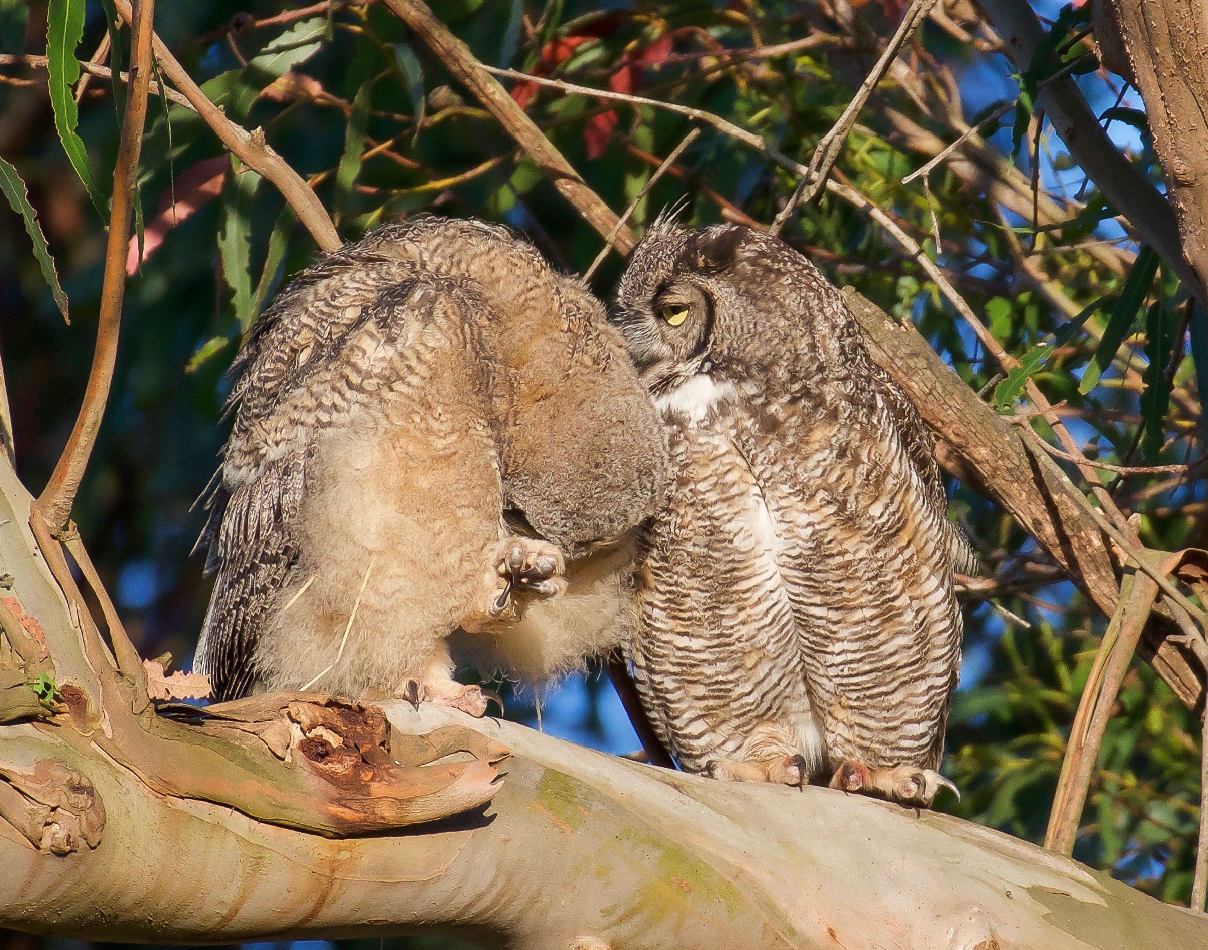 mother-owl-and-owlet-on-branch-grooming-9.jpg
