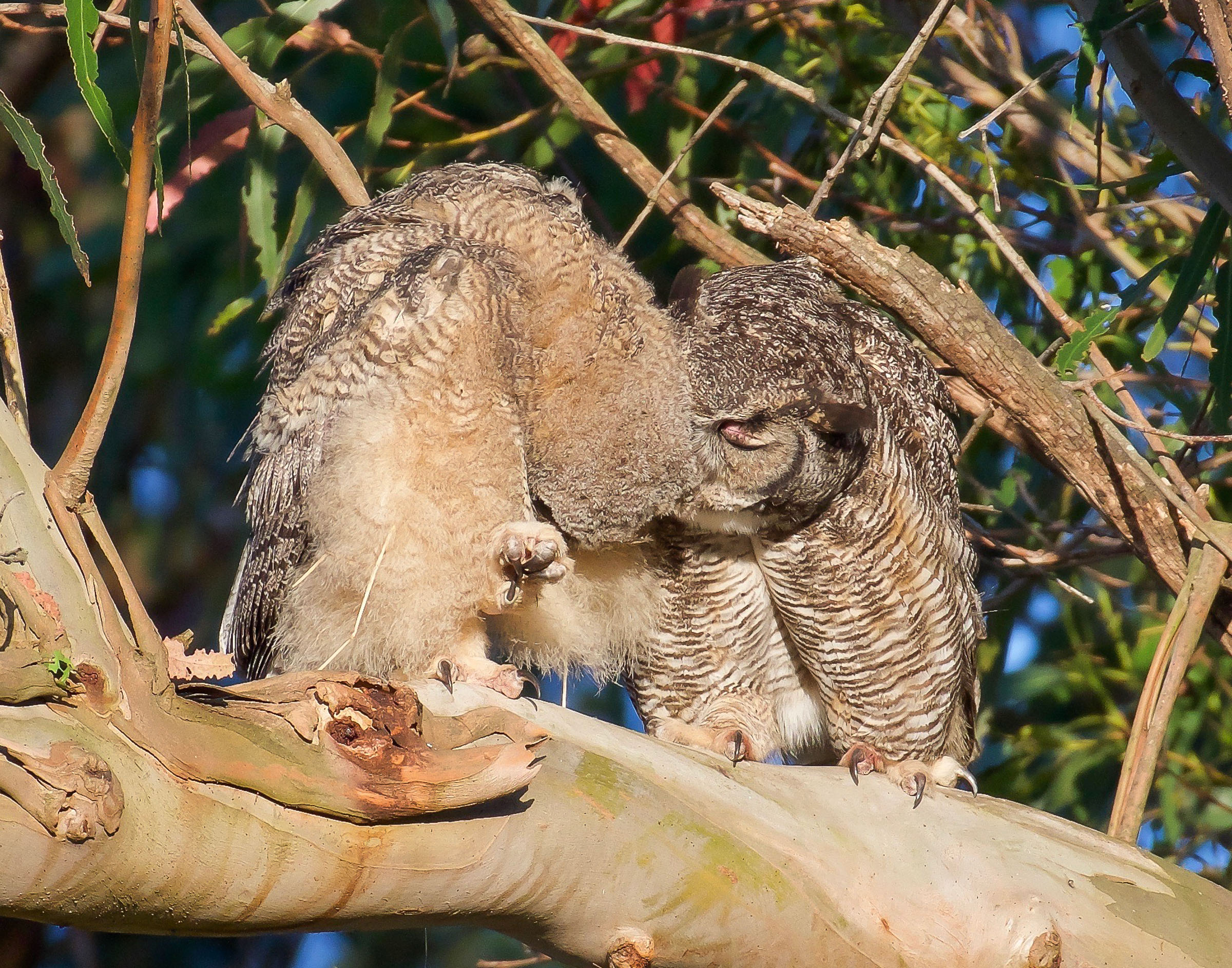 mother-owl-and-owlet-on-branch-grooming-10.jpg
