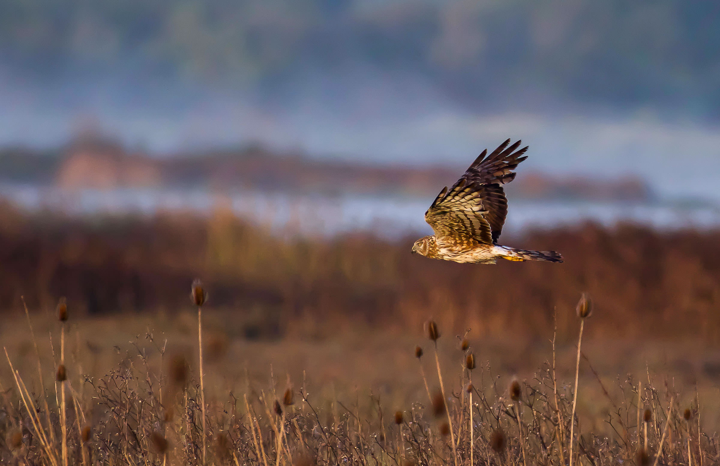 northern_harrier_hunting_jackrabbit-1.jpg