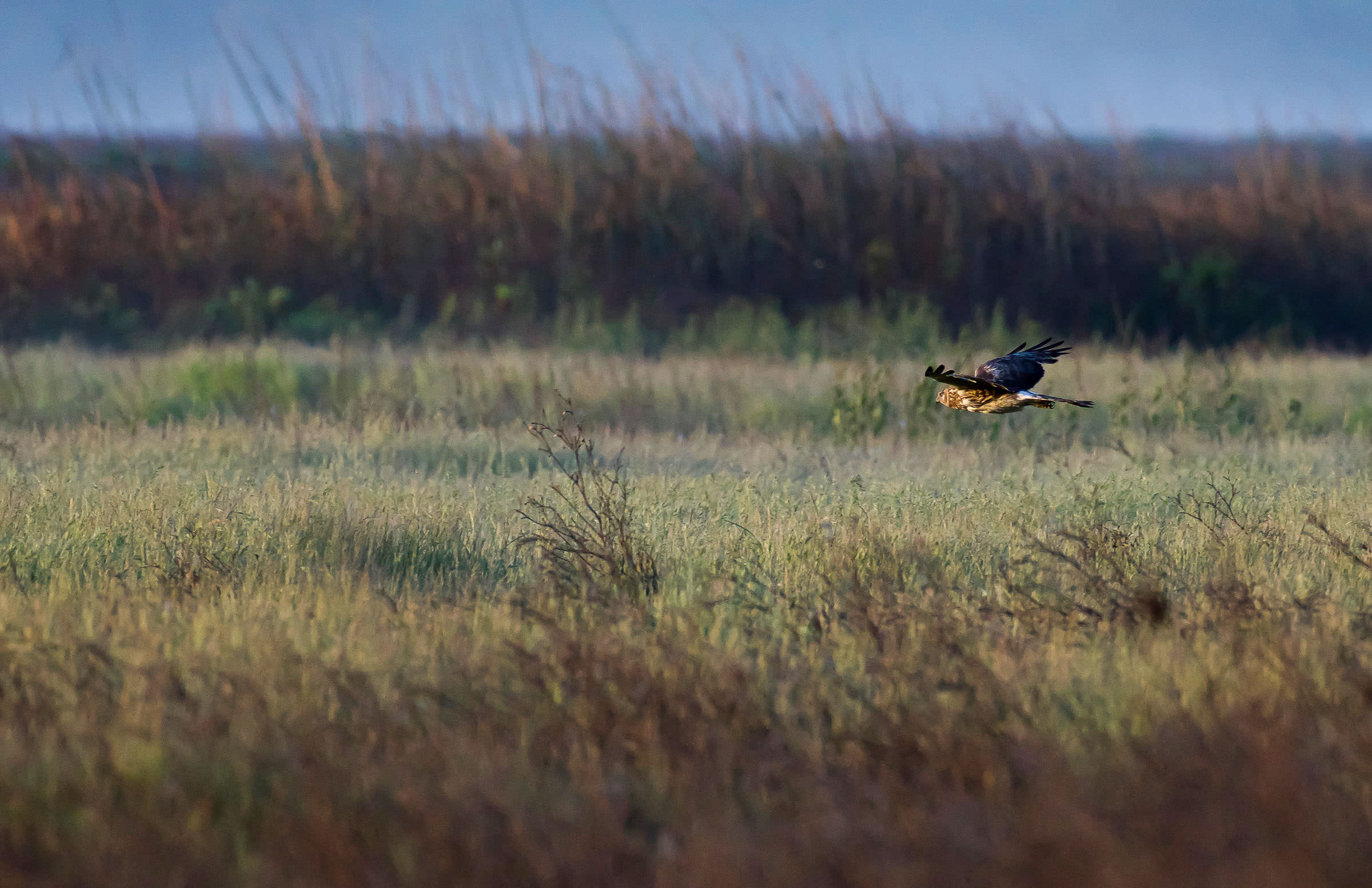 northern_harrier_hunting_jackrabbit-3.jpg