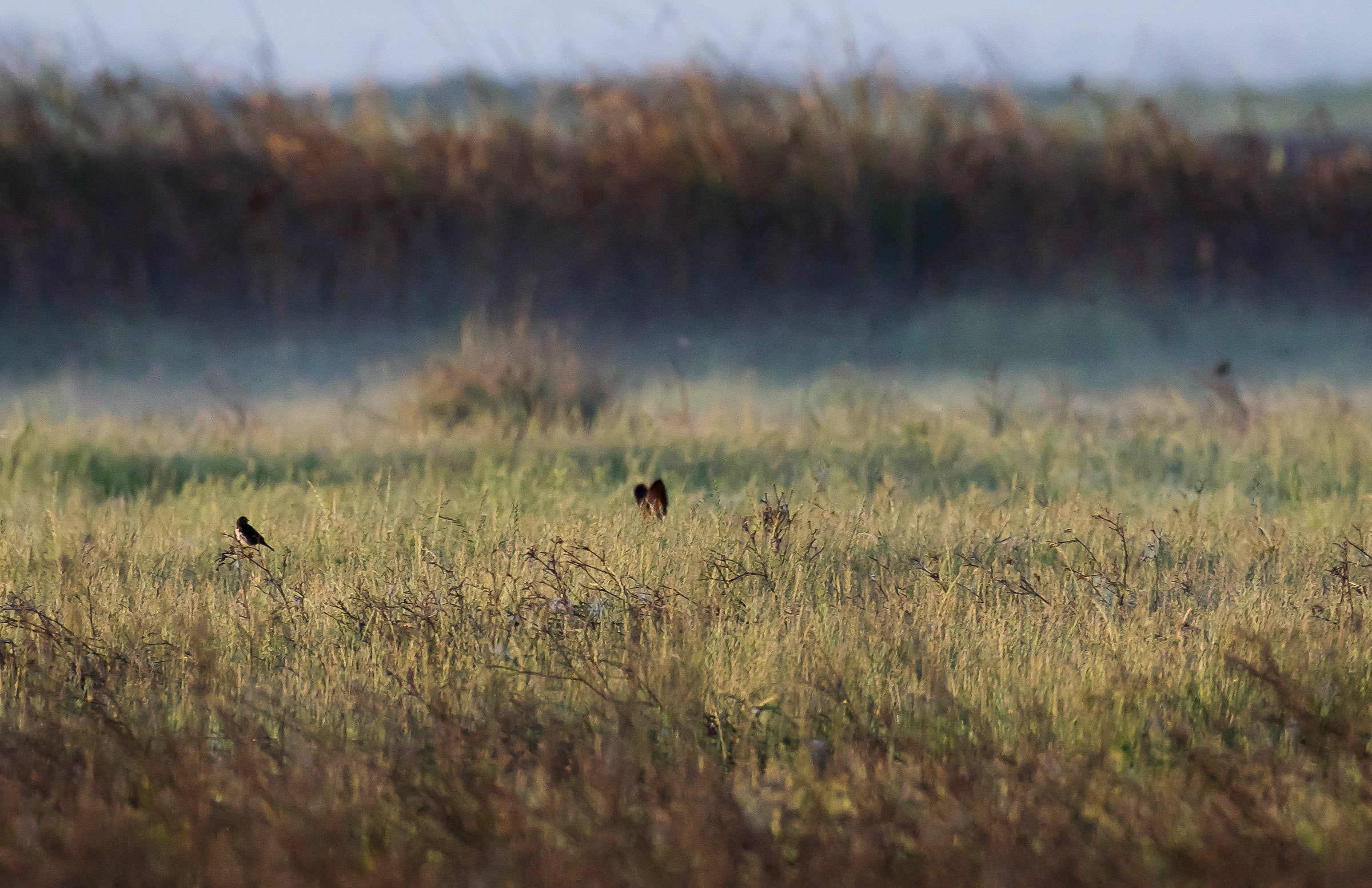 northern_harrier_hunting_jackrabbit-5.jpg