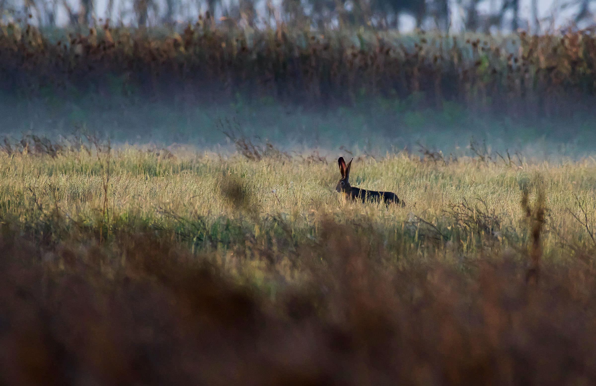 northern_harrier_hunting_jackrabbit-6.jpg