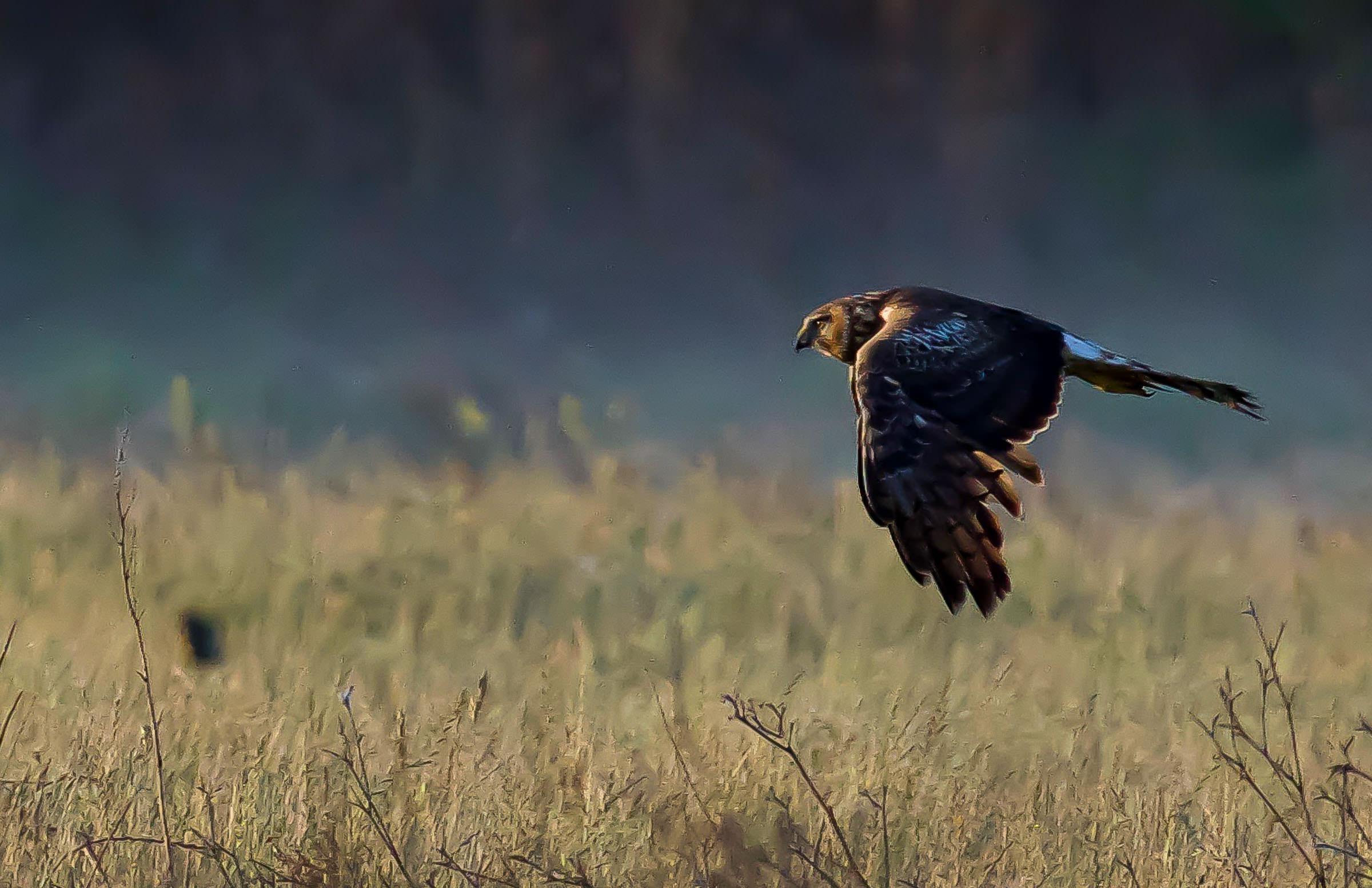 northern_harrier_hunting_jackrabbit-7.jpg