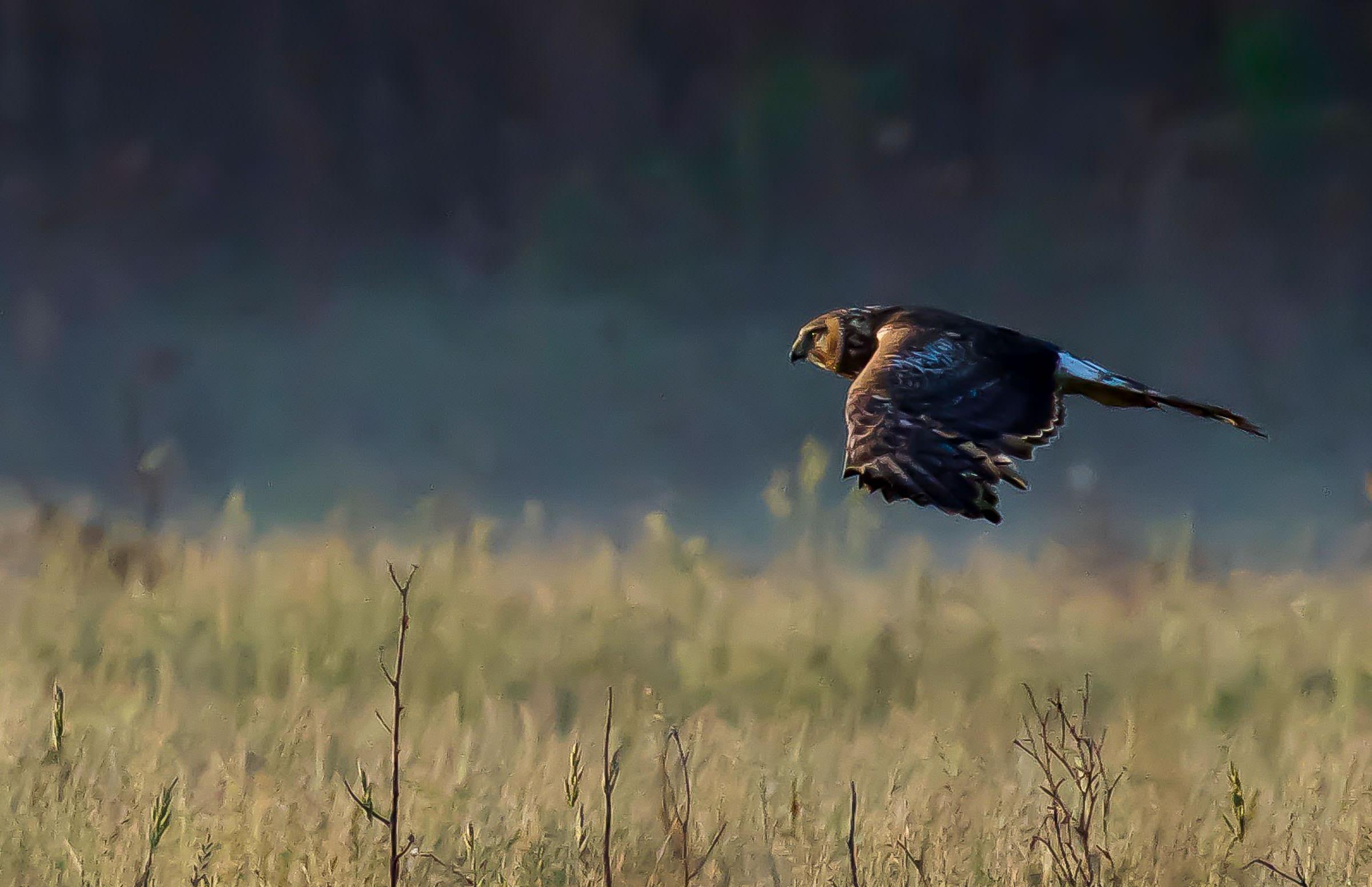 northern_harrier_hunting_jackrabbit-8.jpg