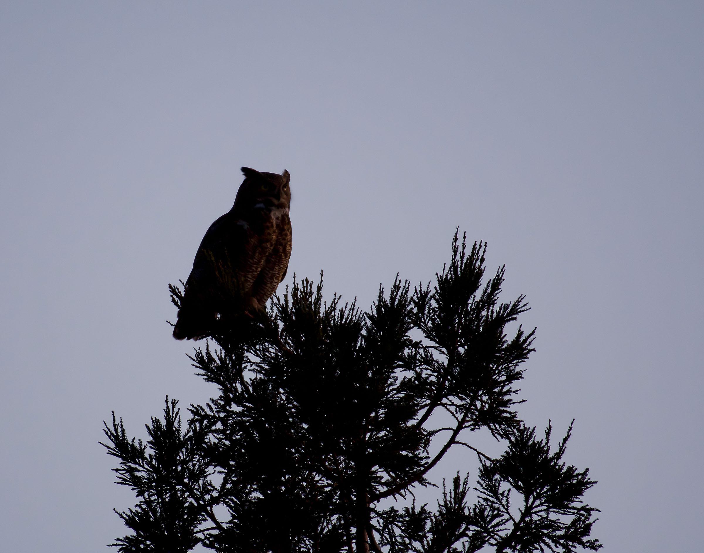 great_horned_owl_book3-1.jpg