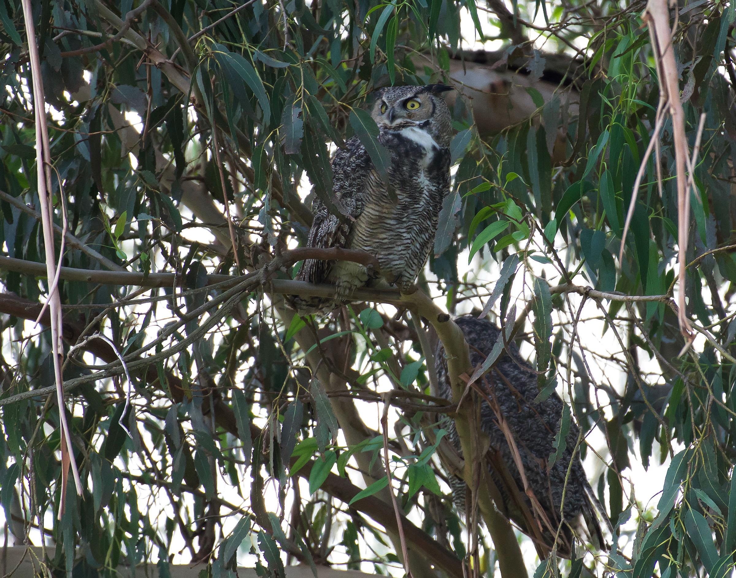 great_horned_owls_book3.jpg