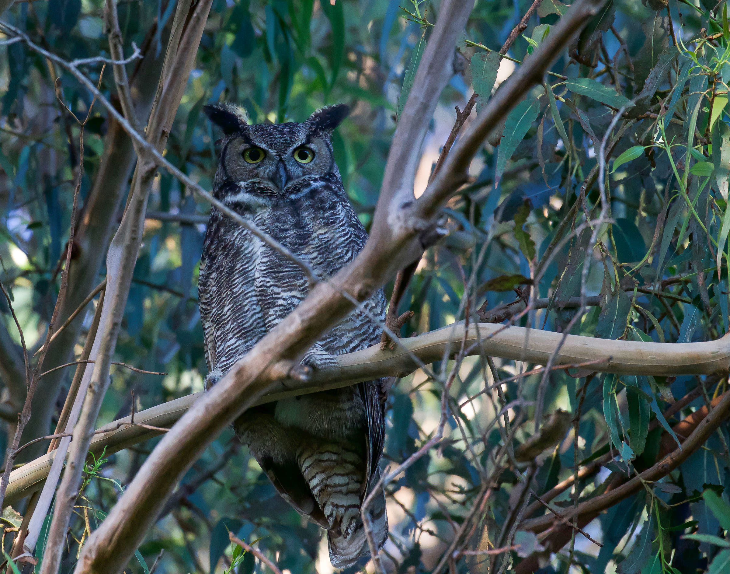 great_horned_owl_guard_book3.jpg