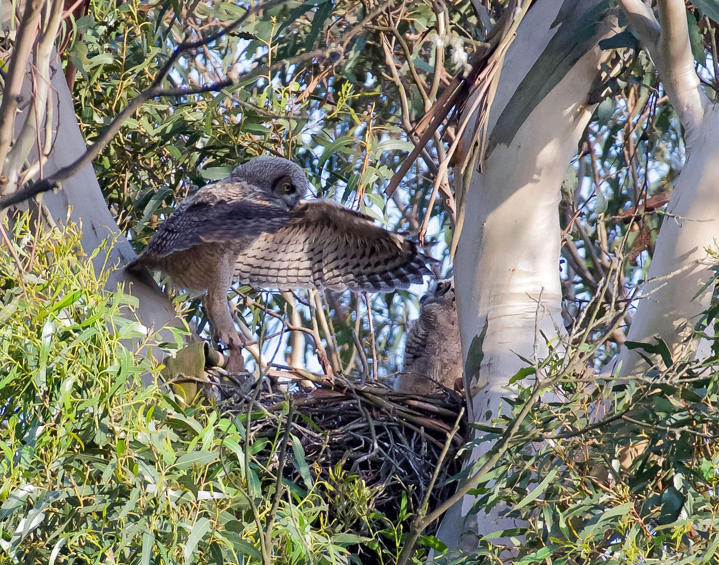 great_horned_owlets_fly_nest_book3-1.jpg