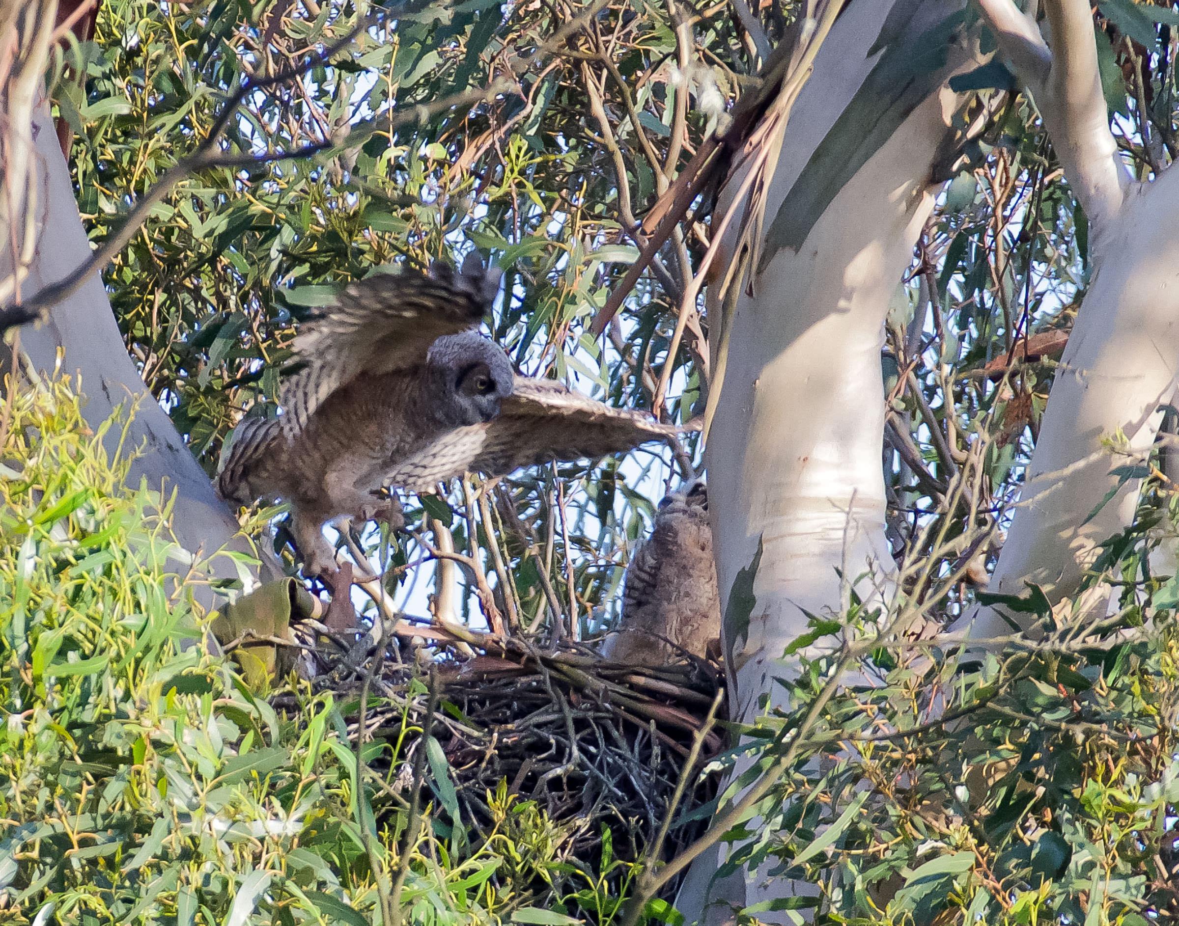 great_horned_owlets_fly_nest_book3-3.jpg