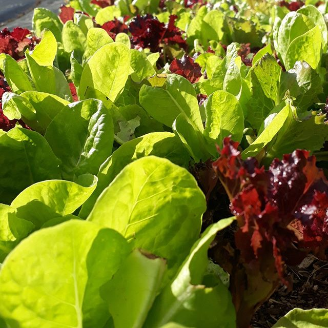Fresh, local produce. Its what we want, right?  From the sunny hills of Tutukaka. Thanks to @olis_handcrafted_food . Lettuce create healthy meals for you. . Link in bio for more info .  #lovegreens #lettuce #salad #garden #healthyfood  #freshlocal #tutukaka #foodie #catering #weddingcatering  #northlandcatering