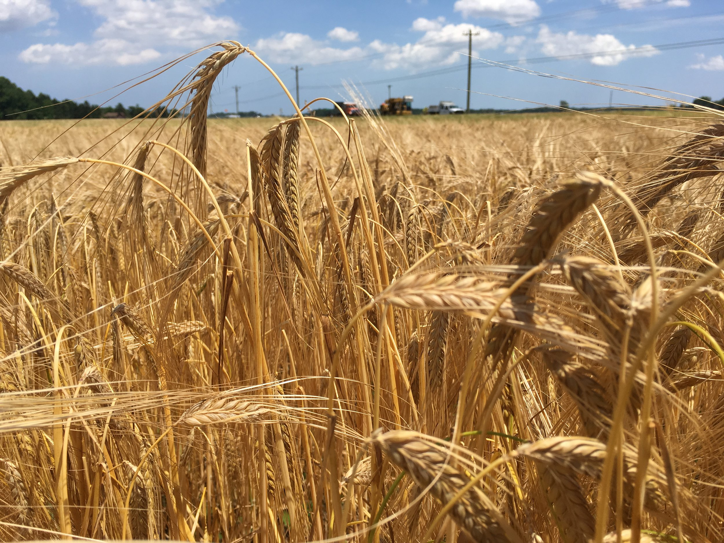 Winter barley ready for harvest in Georgetown, DE.