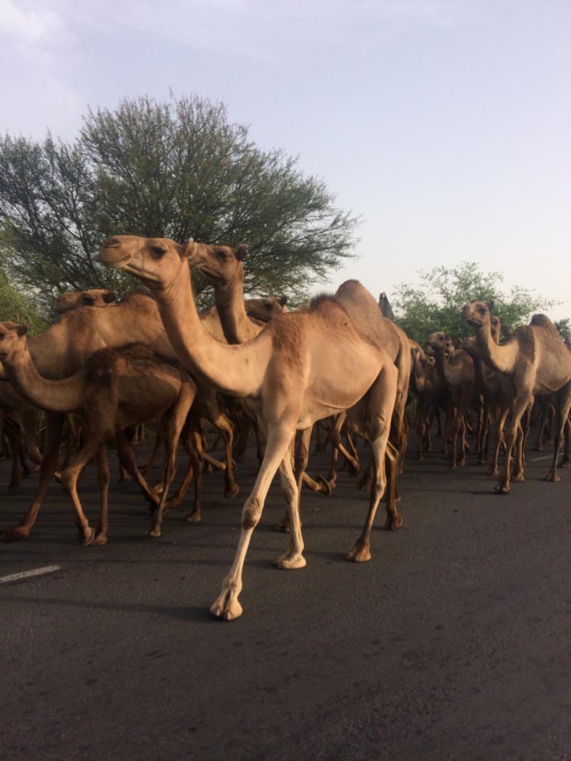 andre-slob_ethiopia_trip_travel_camel.jpg