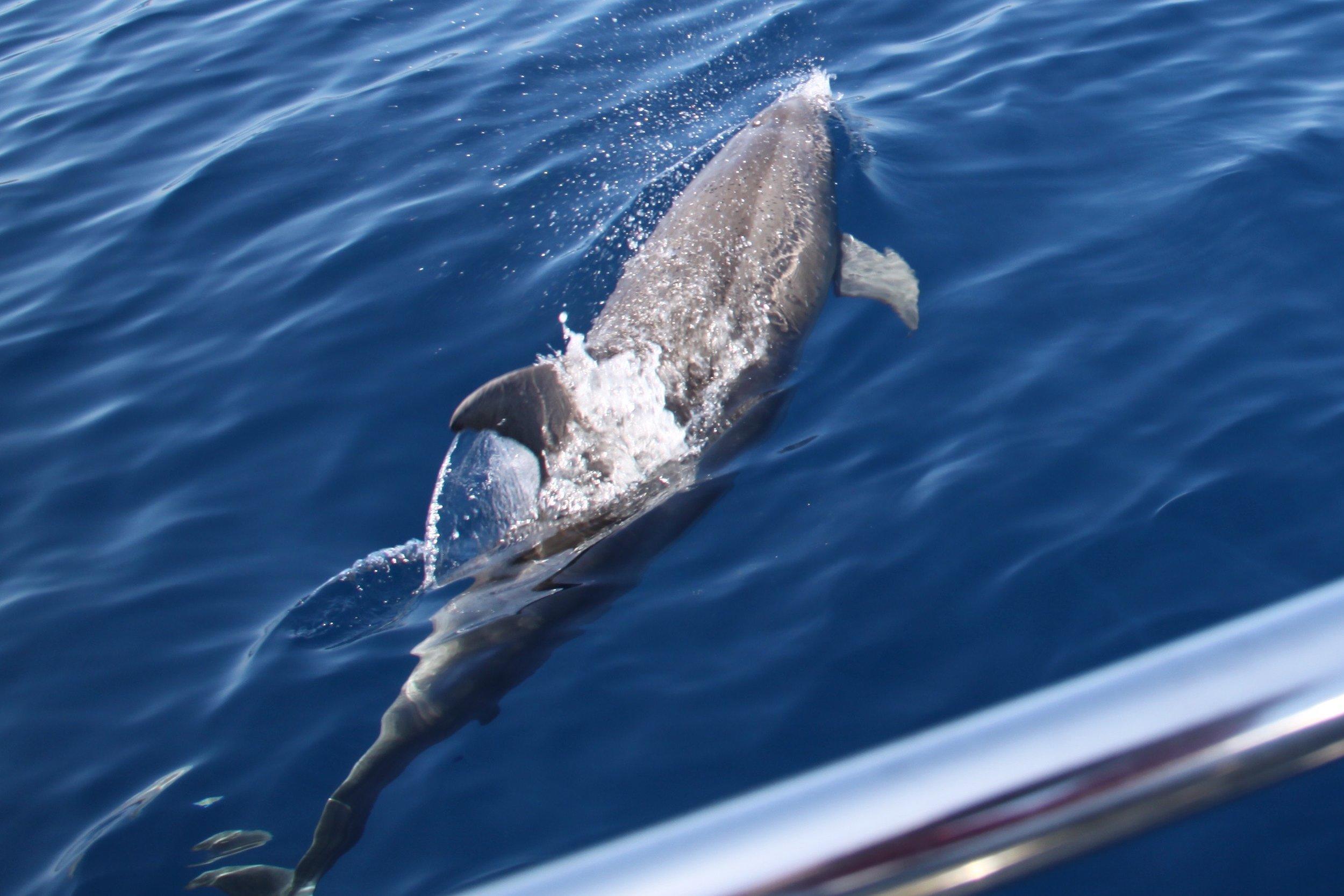Delphin am Bug.jpg