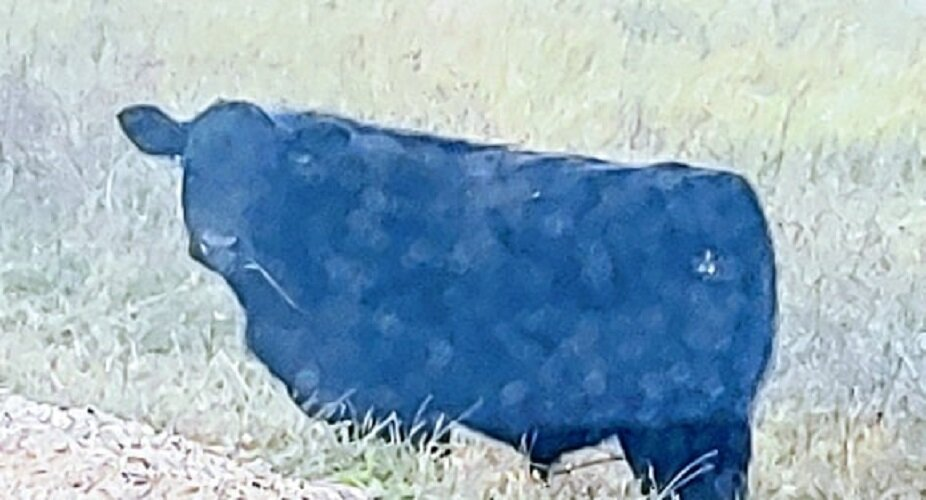 Cow stare.jpg