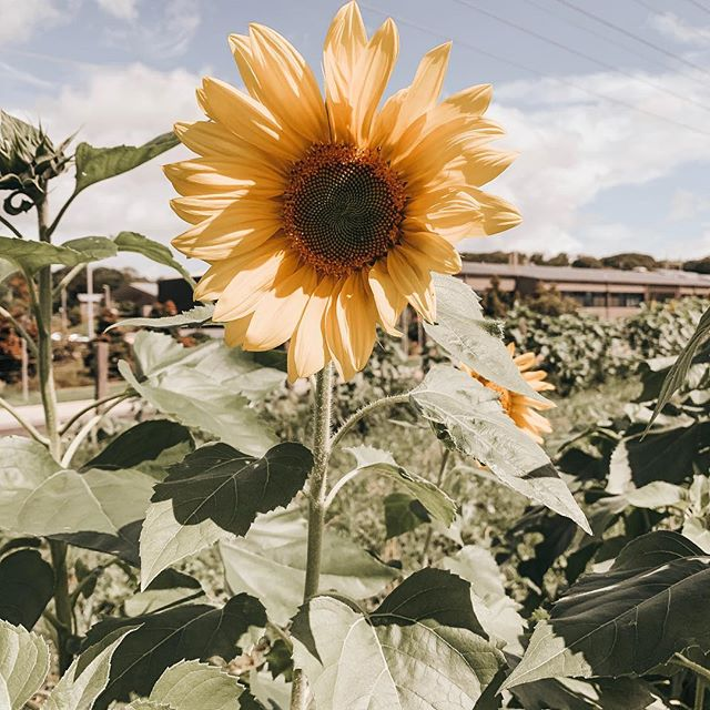 Happy Friday 🌻💛 Sunflowers always make me so happy. So you could imagine my delight at spotting this beauty at @thefarmatbyronbay right at the end of their sunflower season. Lucky me! 😍