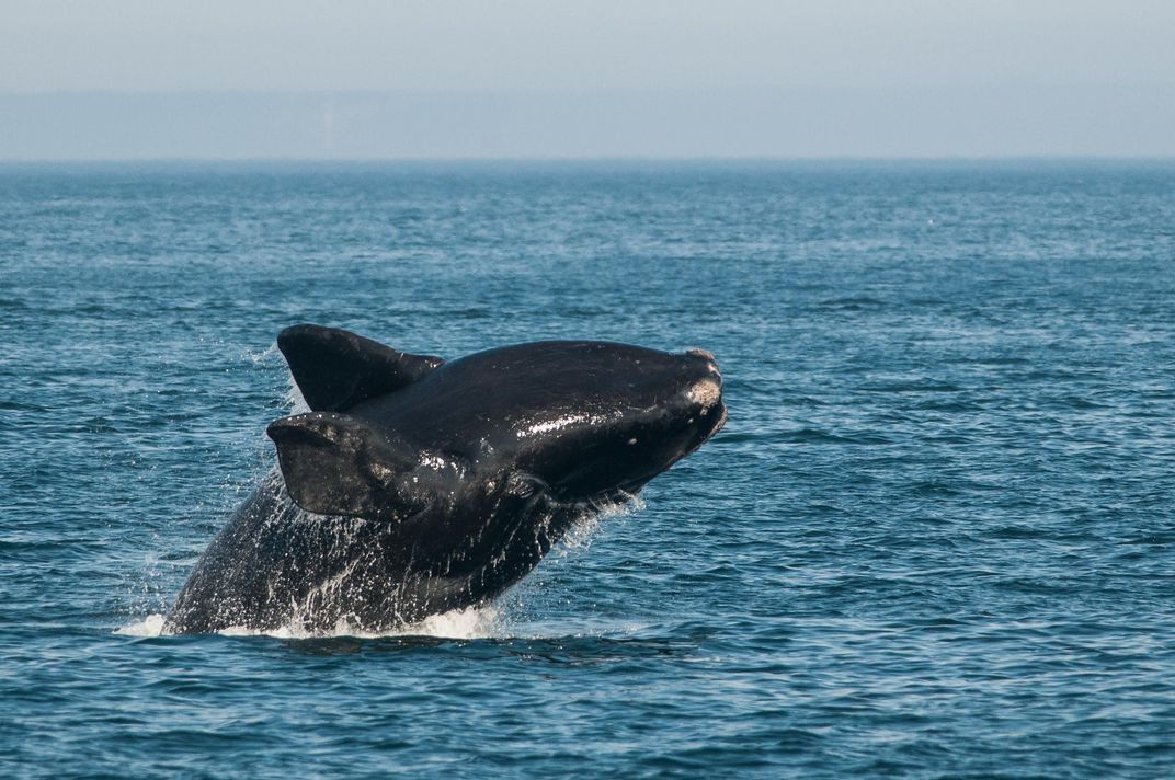 The Plight of the Right Whale - Smithsonian