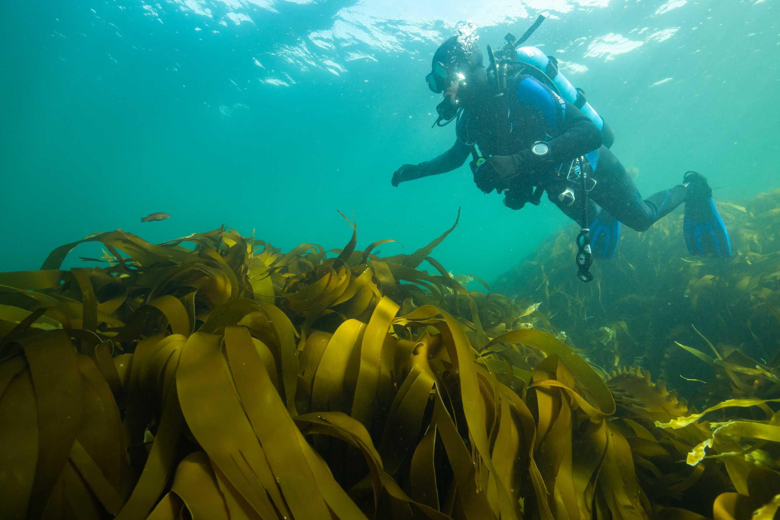 Diving in kelp beds on Nova Scotia's Eastern Shore